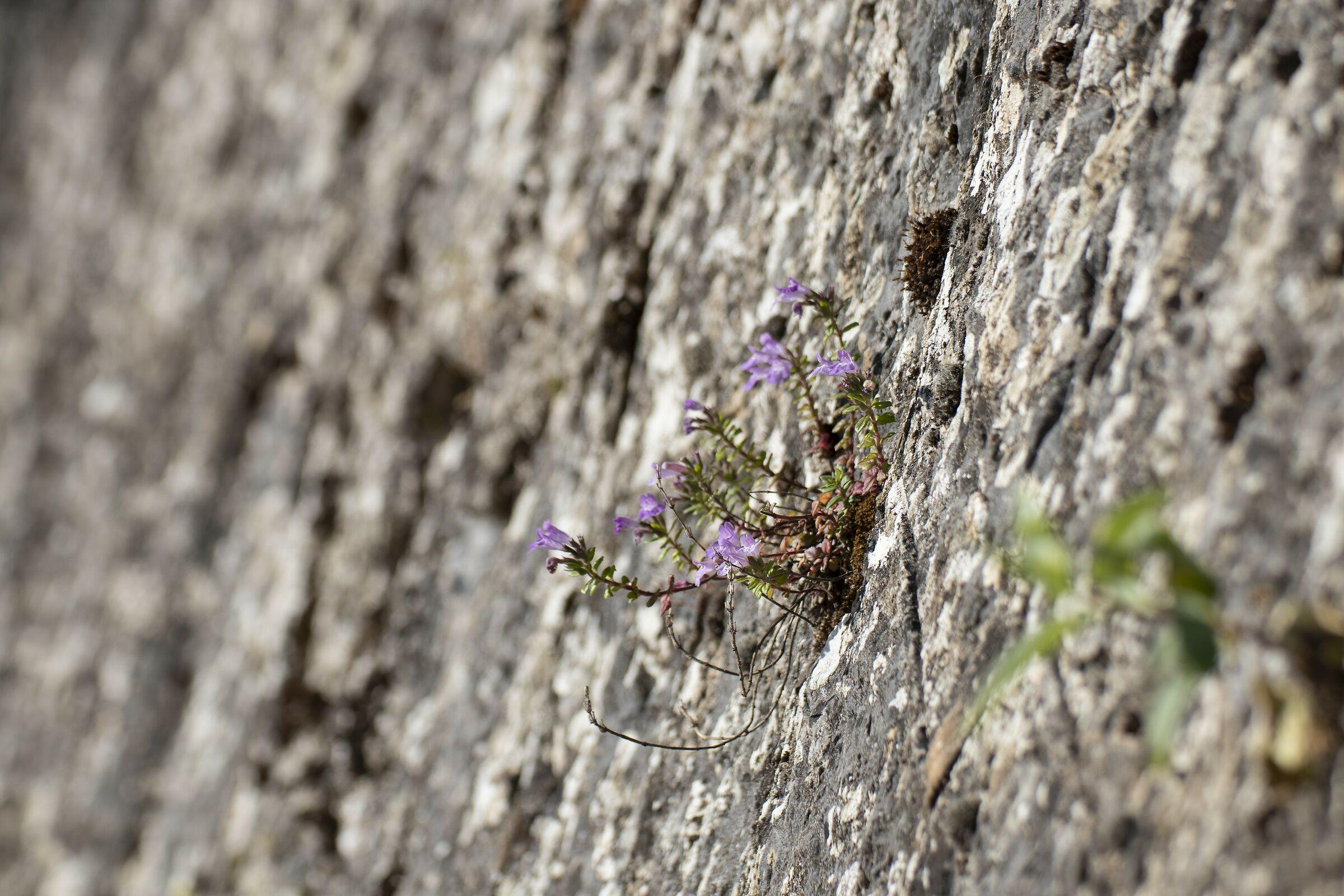 vita su un muro di pietra...