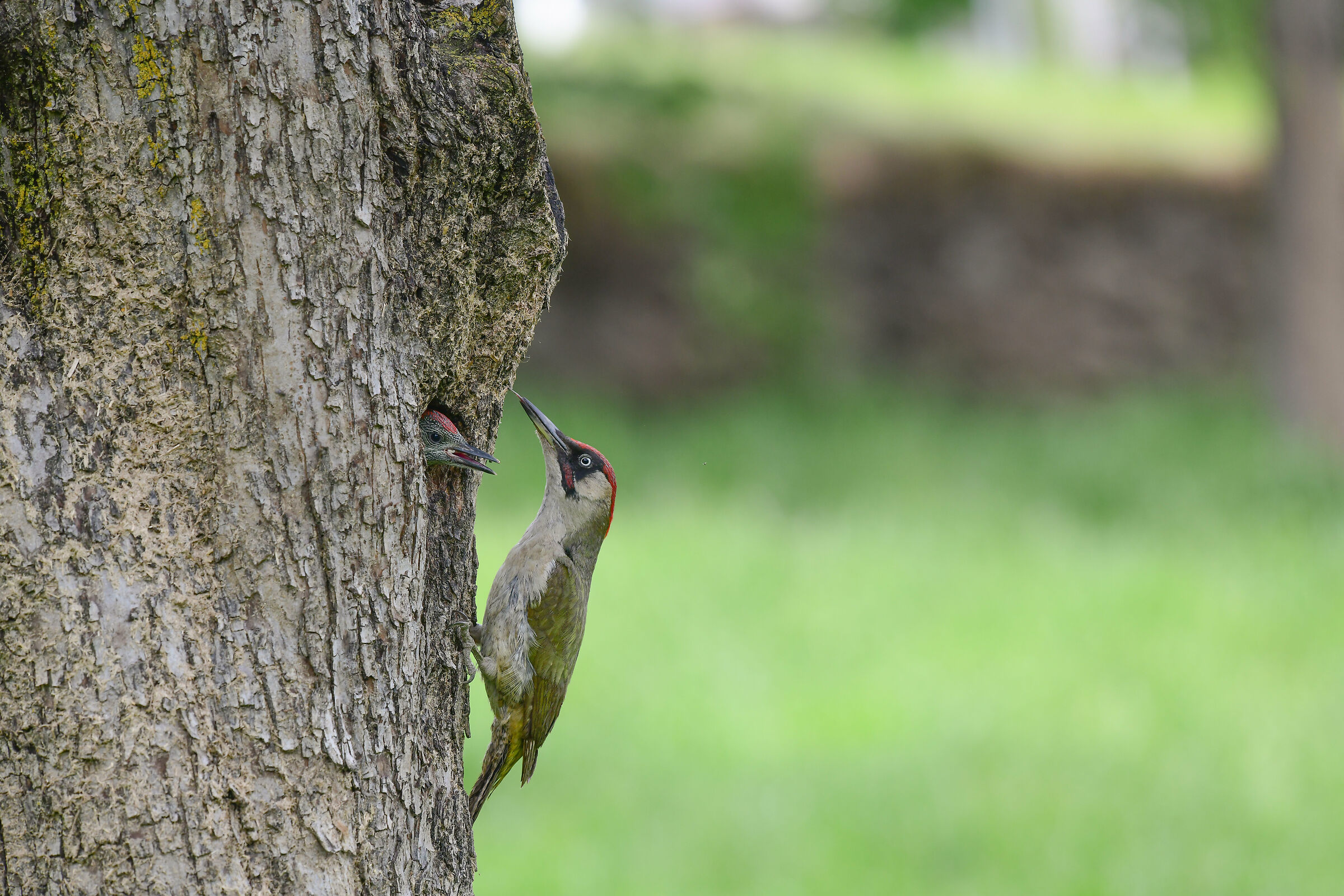 large and small green woodpecker ...