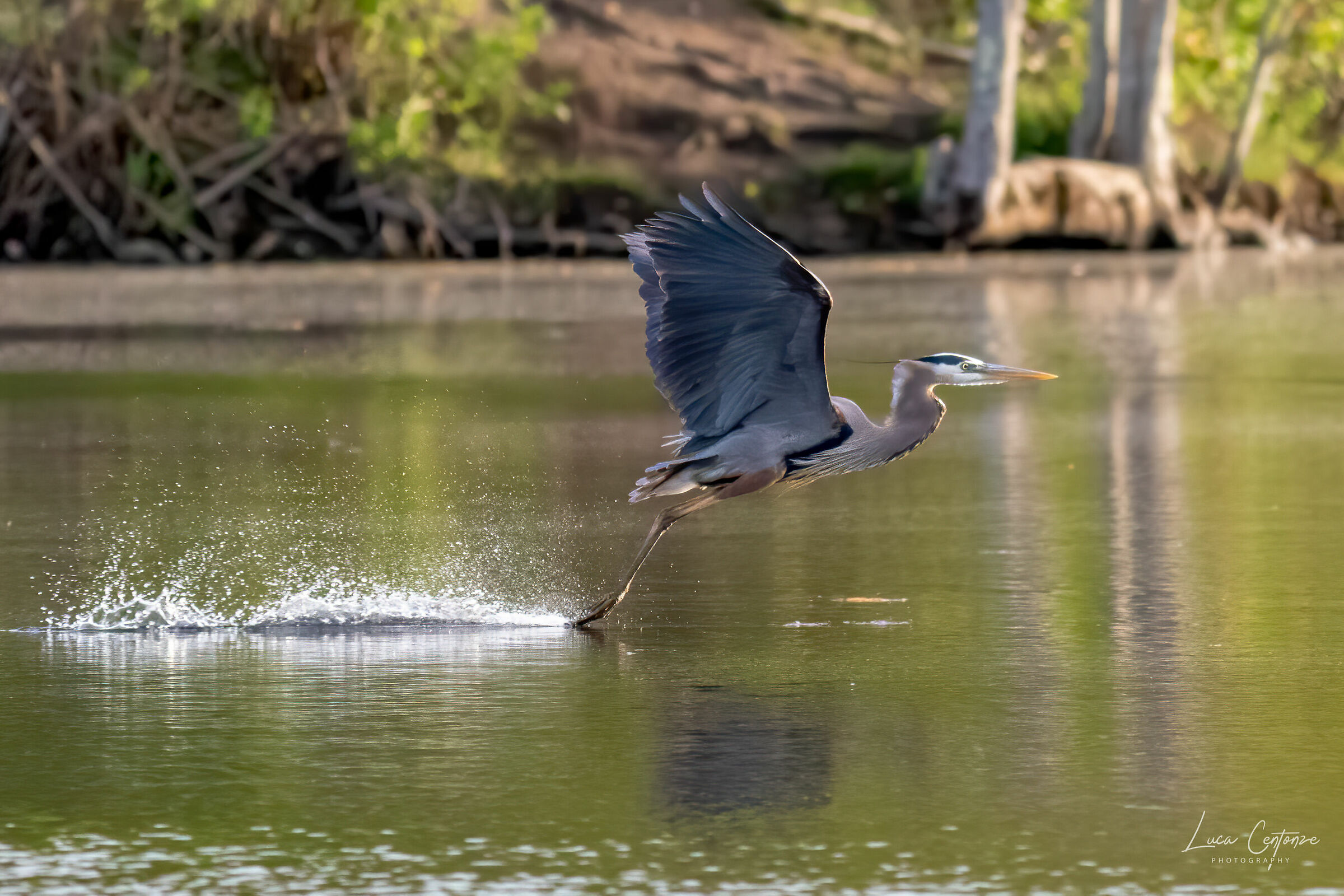 The Flight of the Heron...