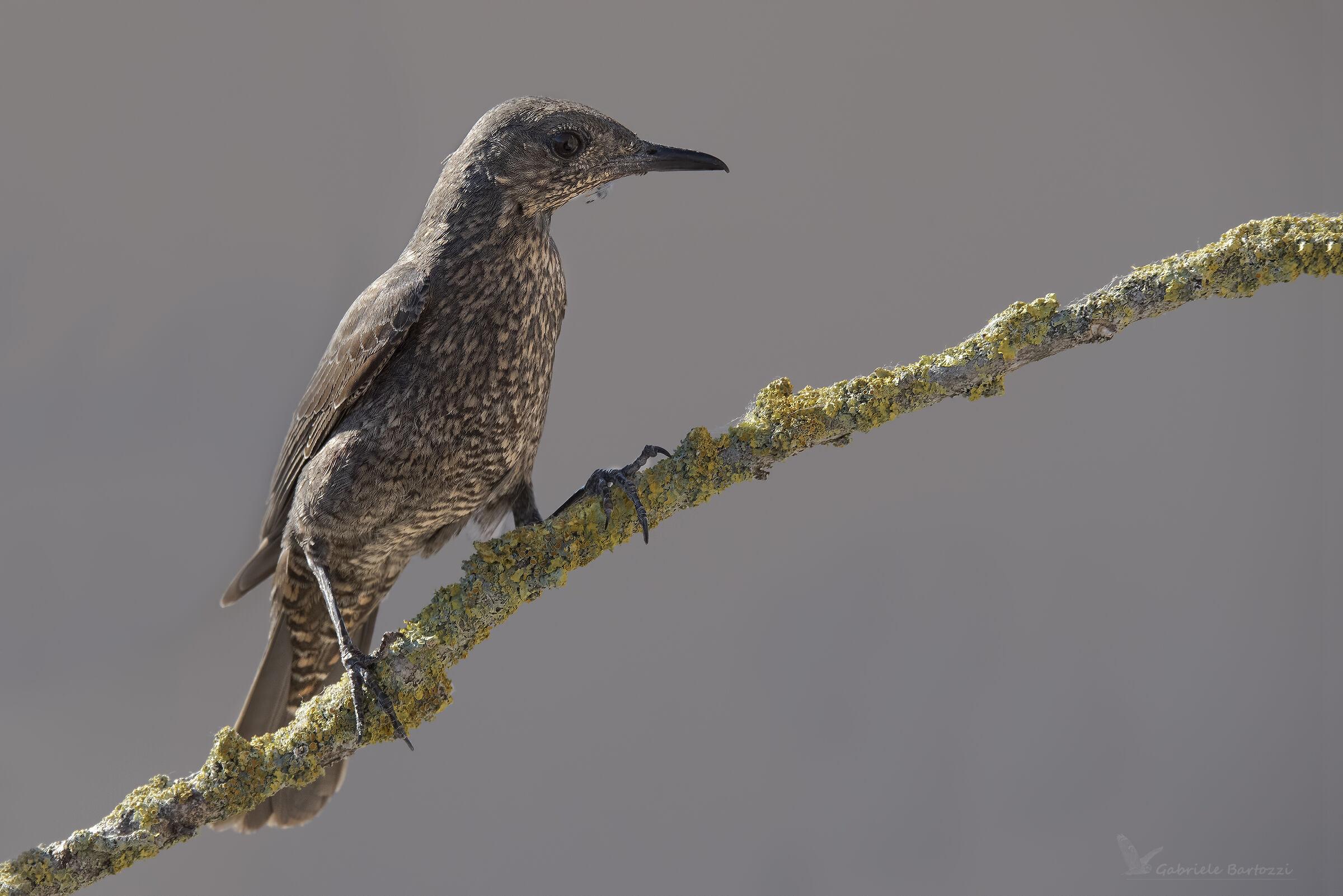 Female solitary sparrow...
