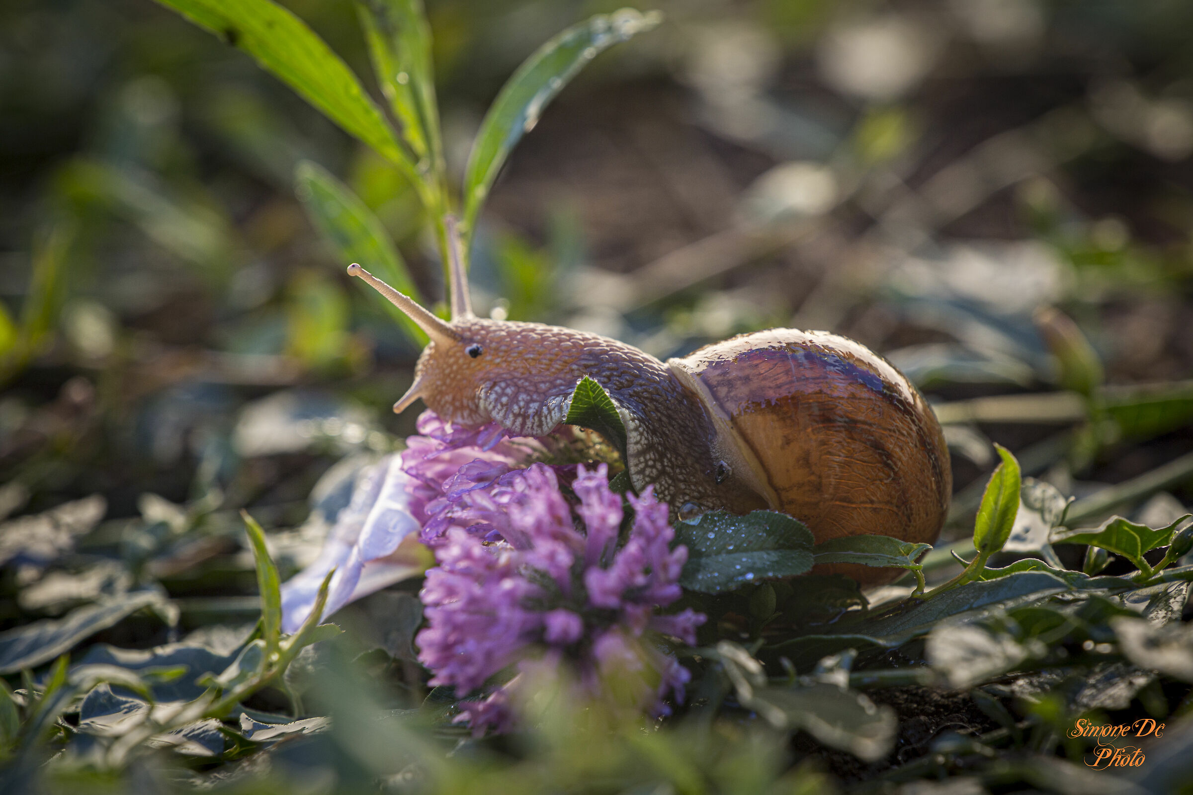 lumaca nei fiori viola...