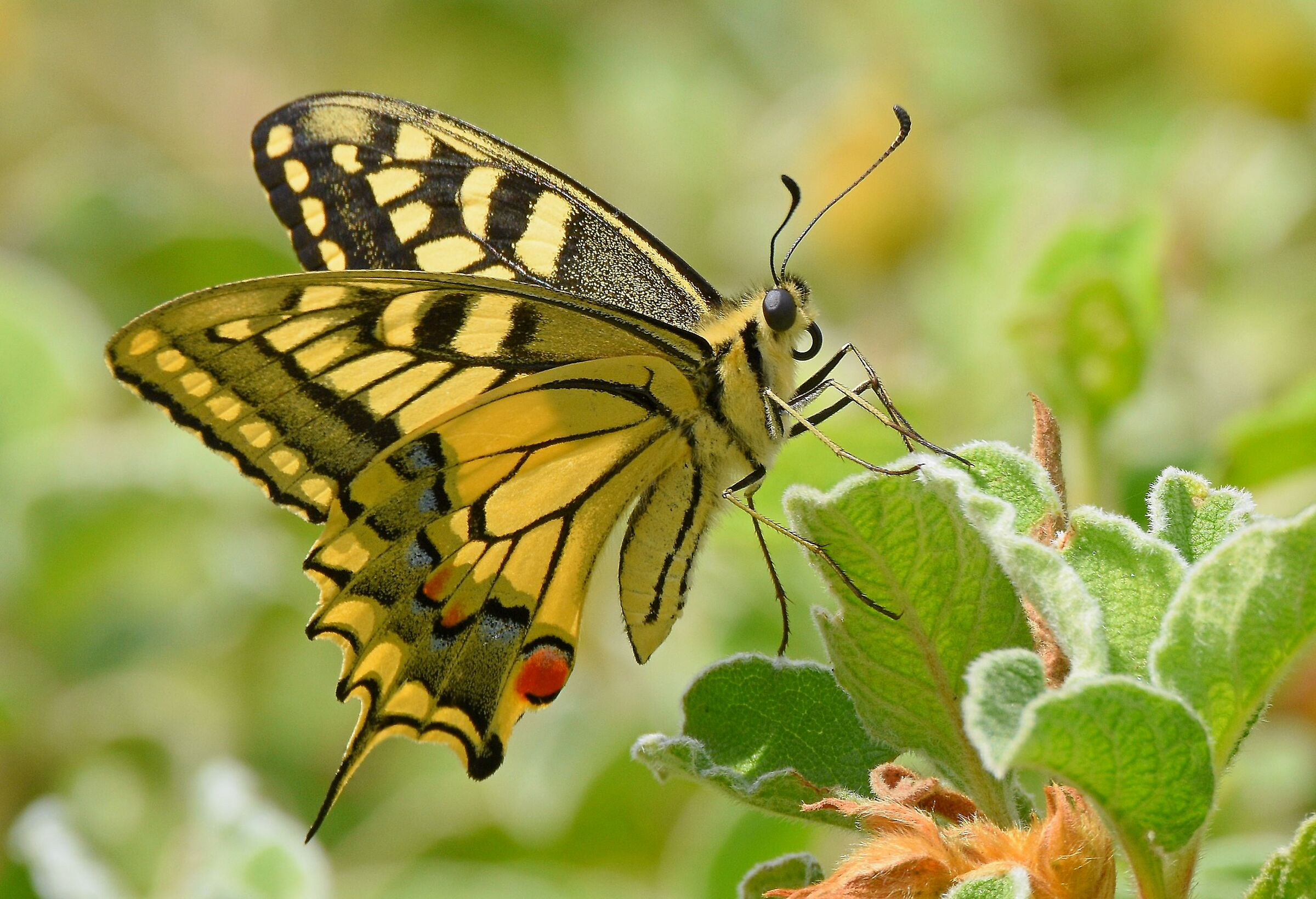 Macaone (Papilion machaon)...