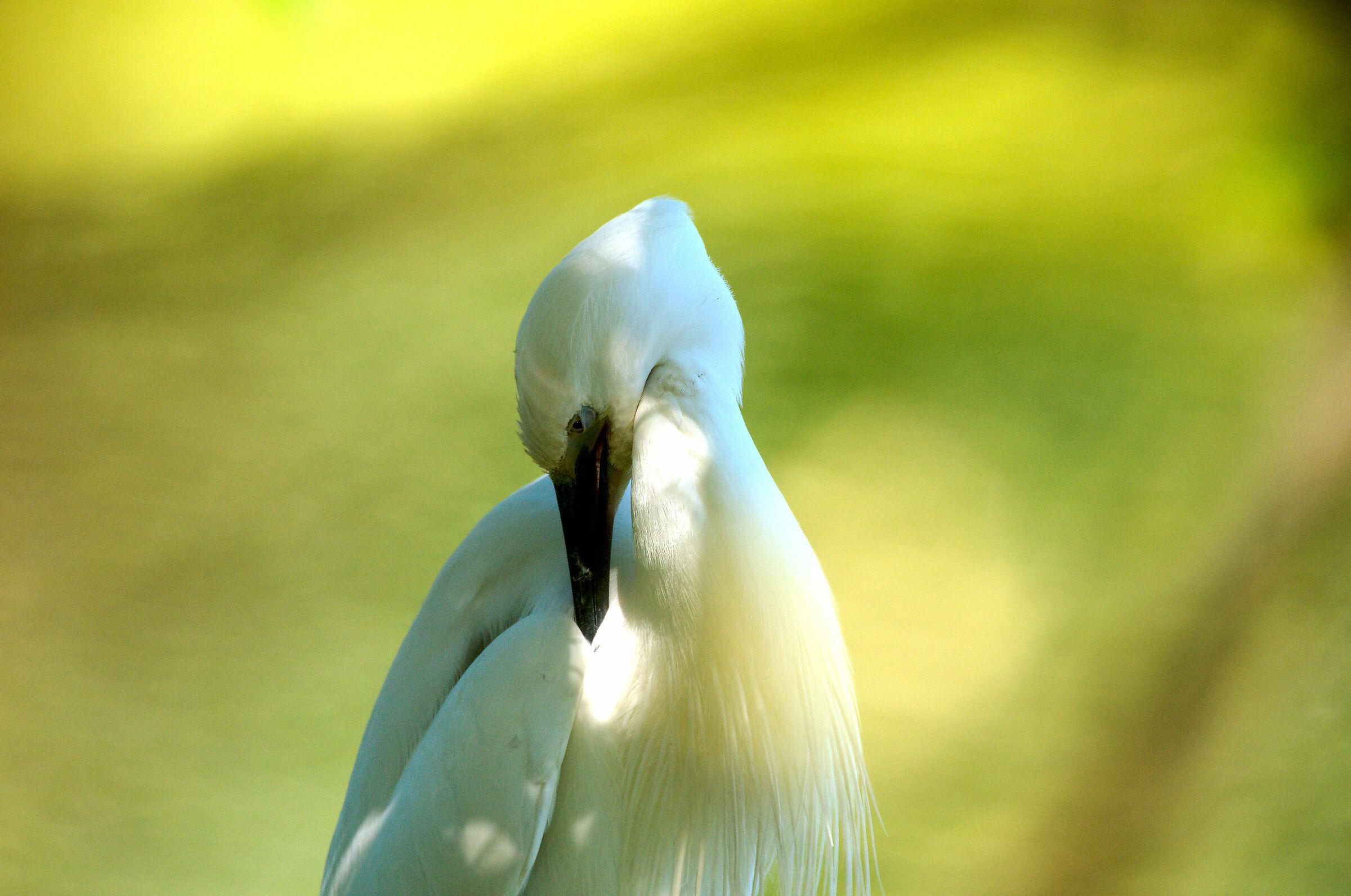 Egretta Portrait...