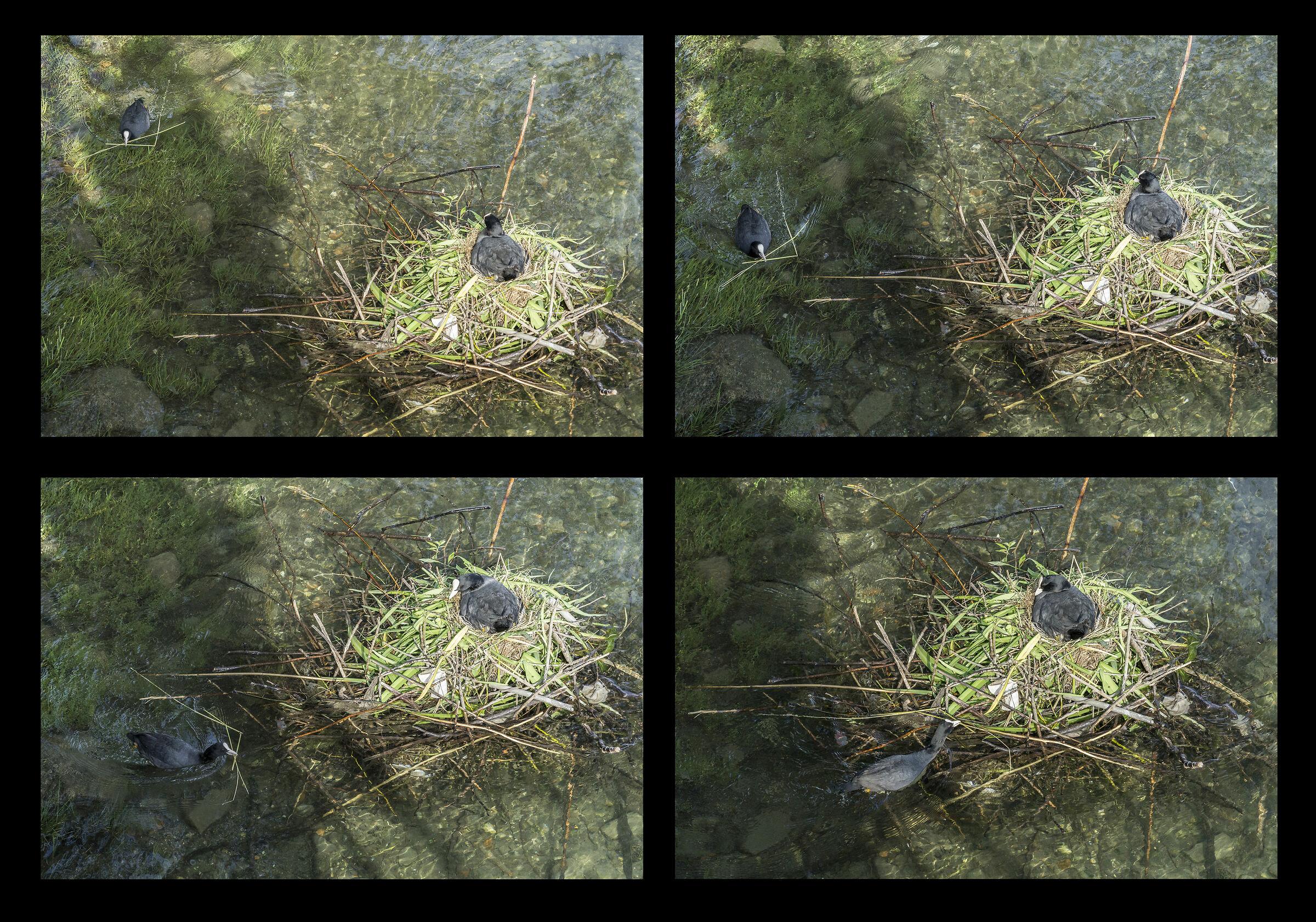 Coppia di folaghe nel proprio nido - 7...