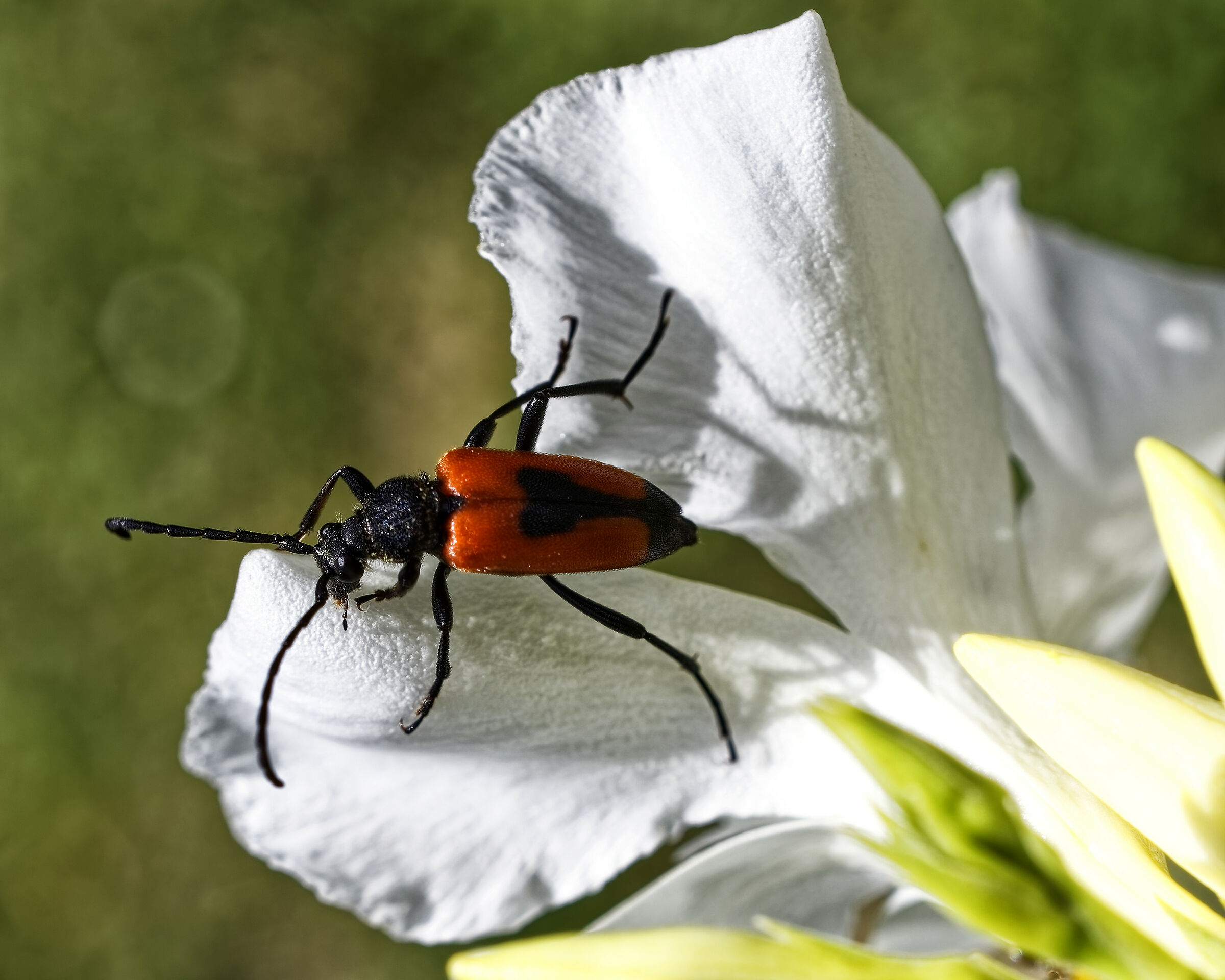 an unexpected guest (red beetle)...
