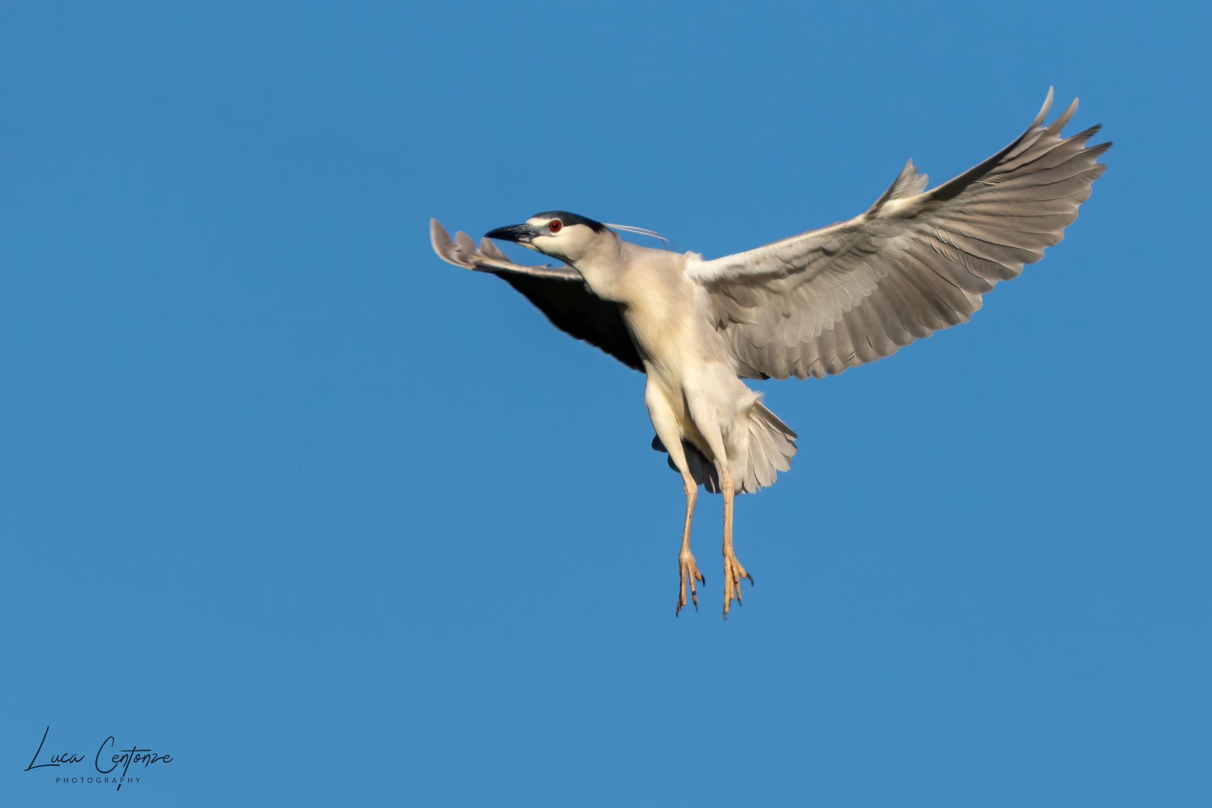 Night heron/Nitticora (Nycticorax nycticorax)...