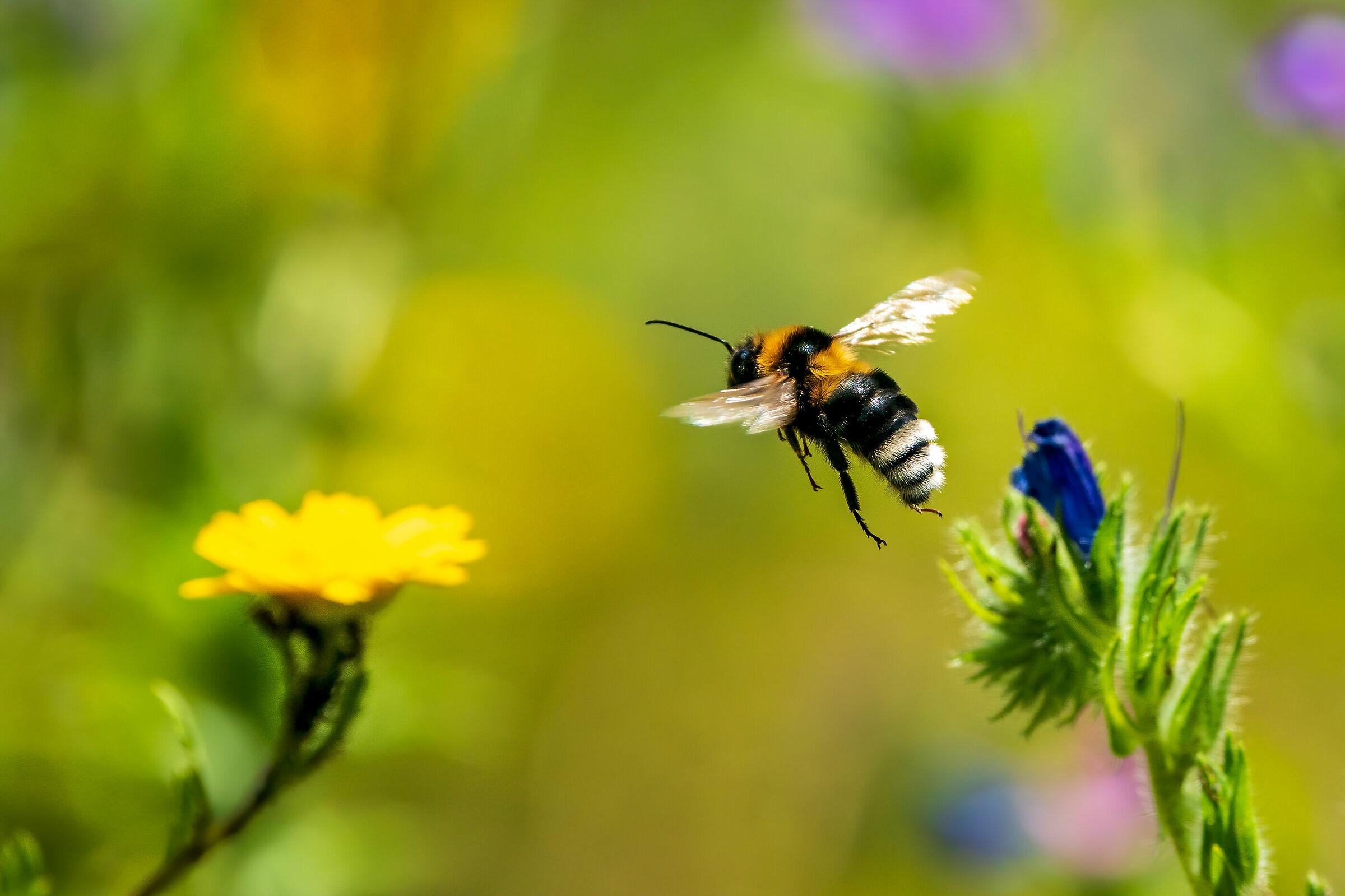 Bee sp....