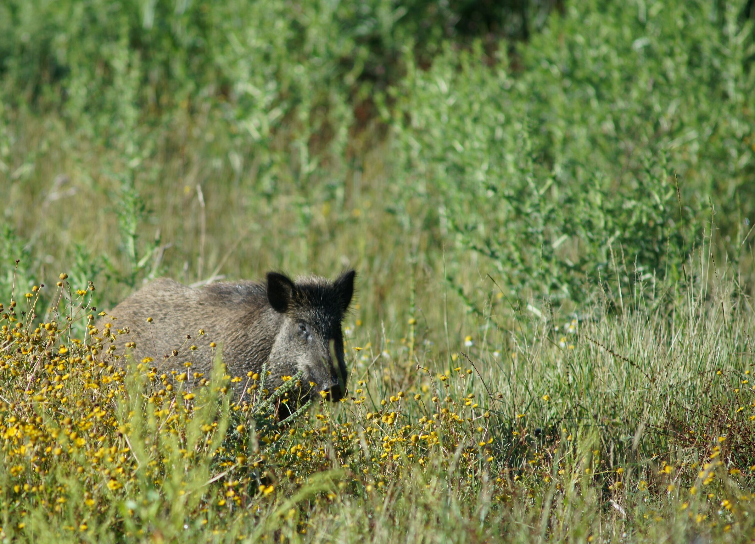 young wild boar, reserve of the Marcigliana Rome...
