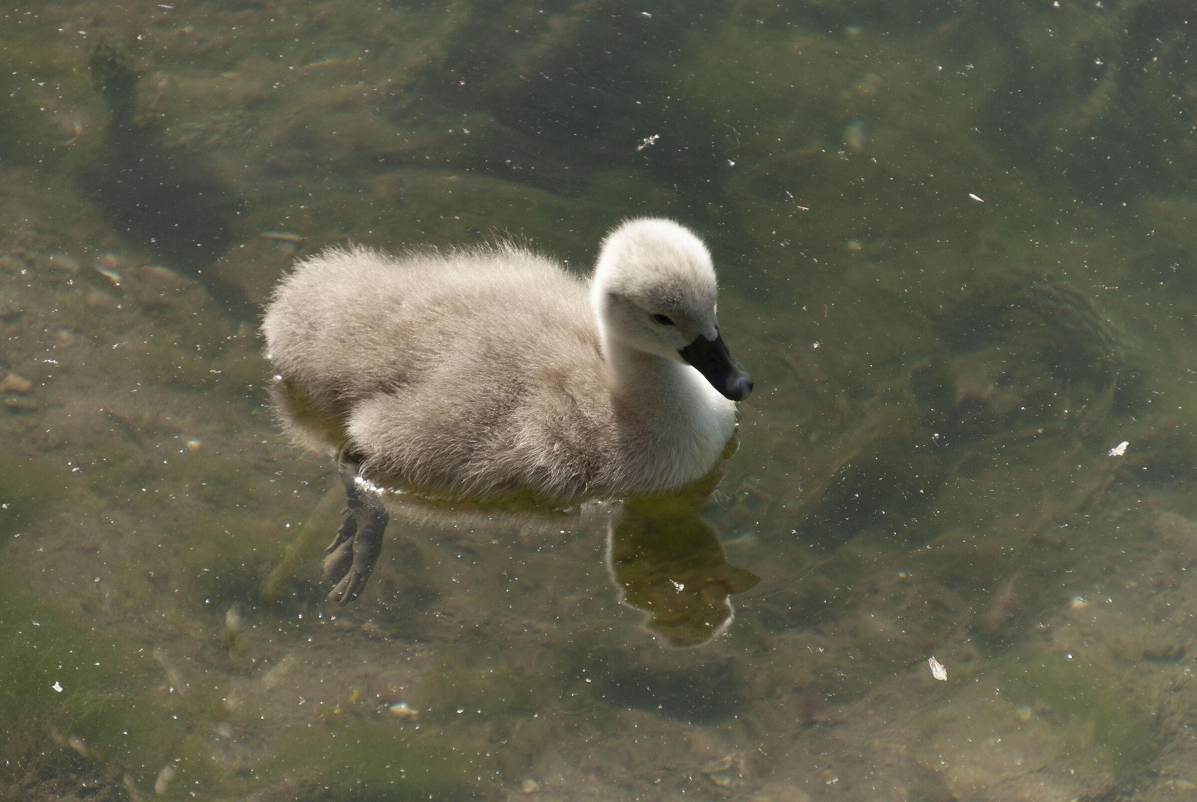 Little swan...