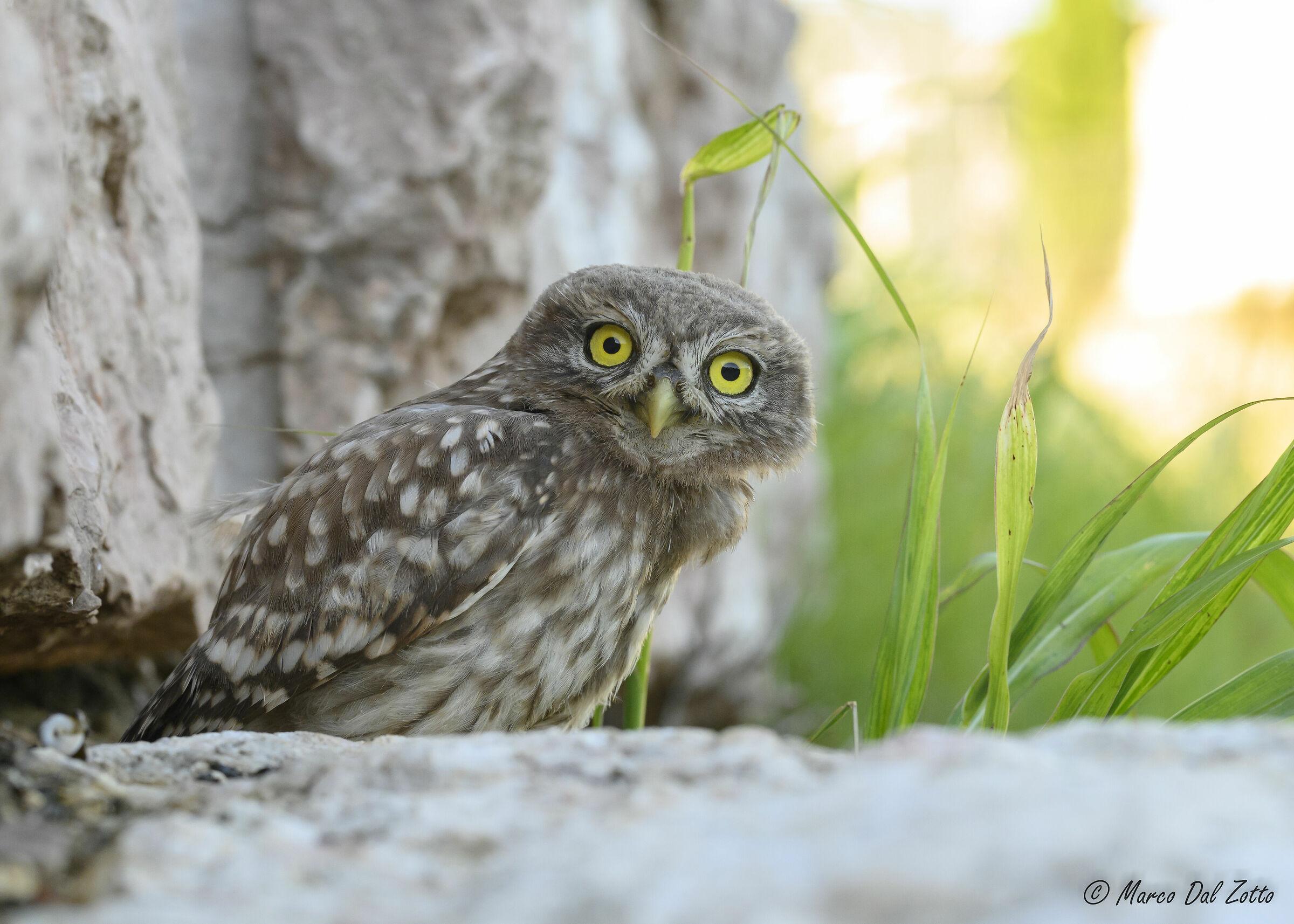 Curious Owl...
