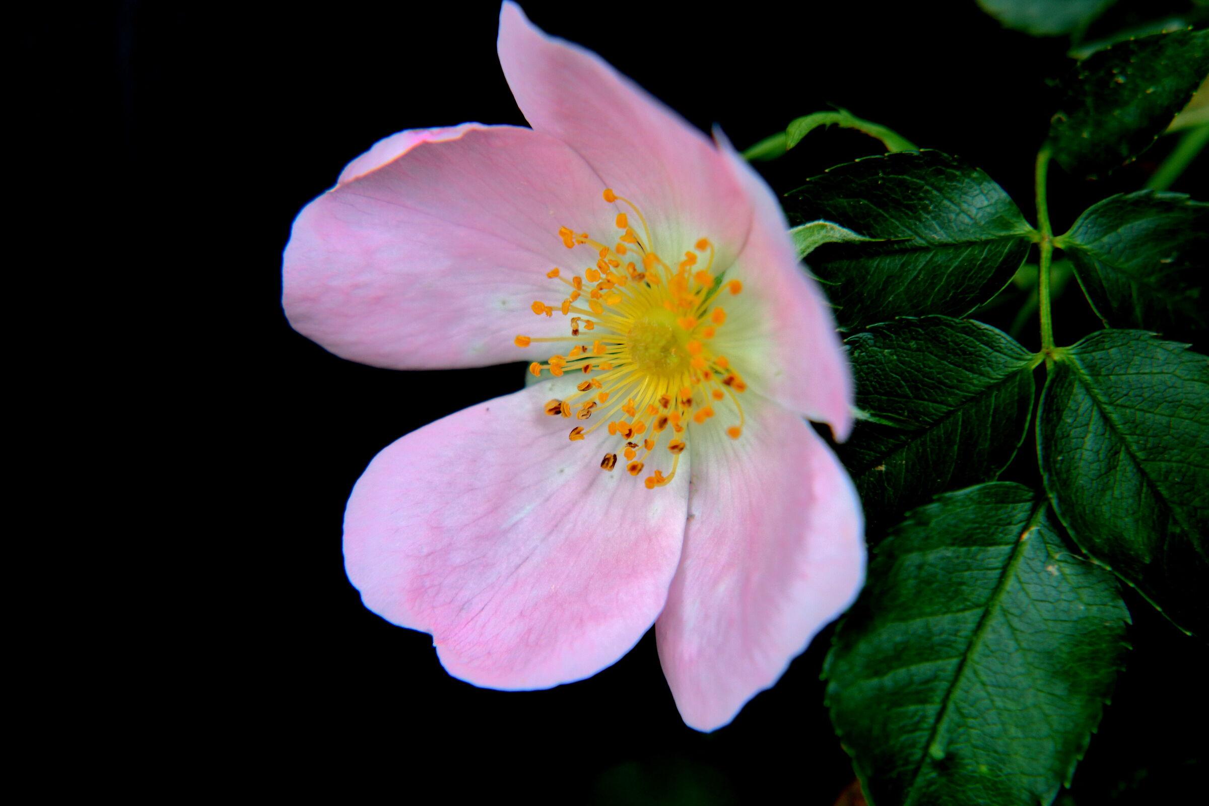 rosa canina...