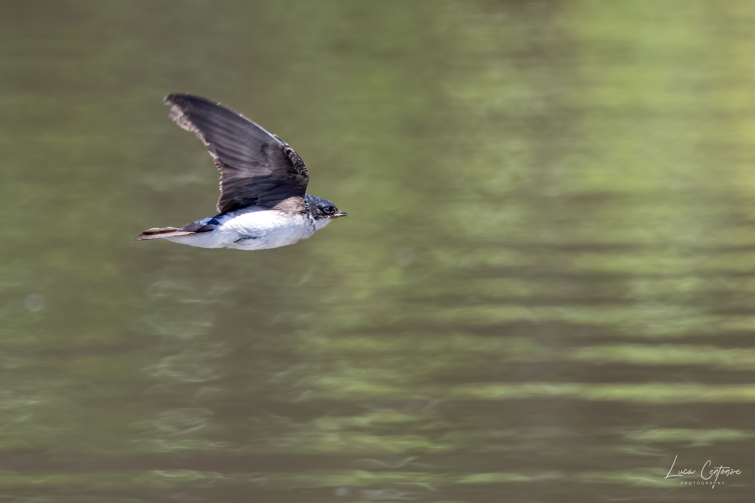 Tree swallow #1...