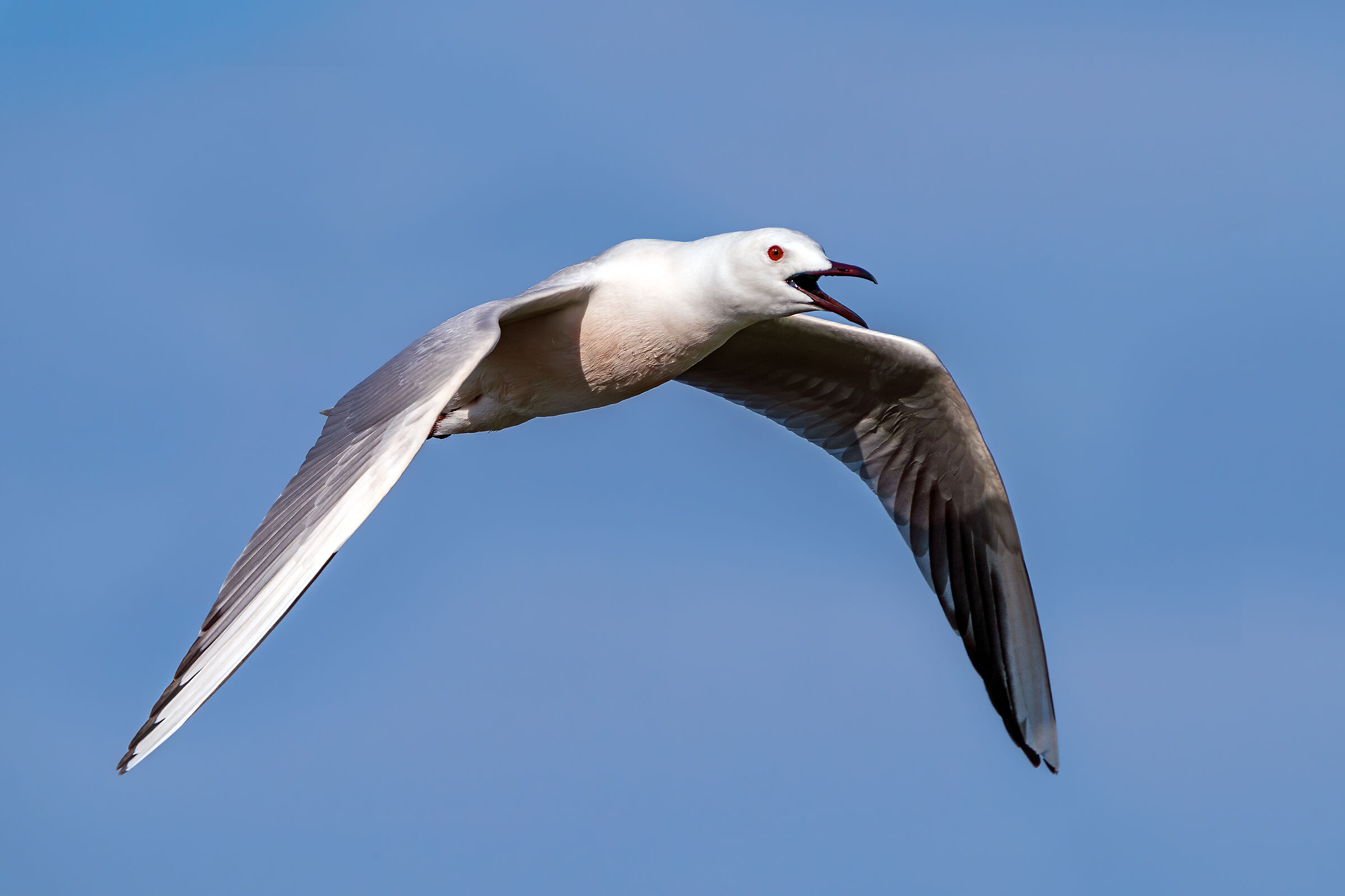 Rosy seagull...