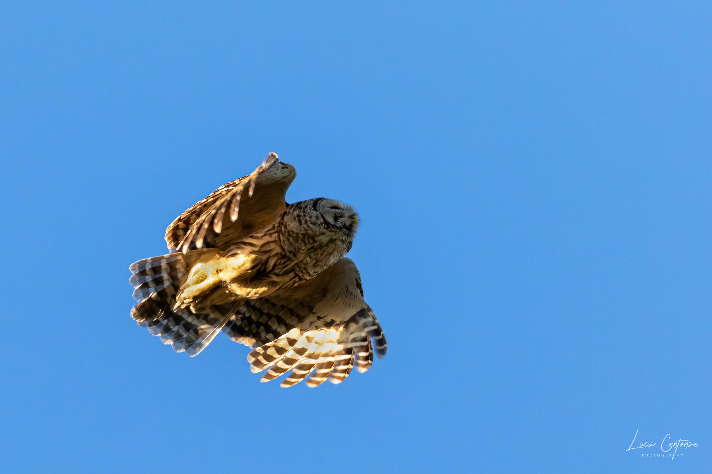 Barred Owl (Barbagianni) flying #2...
