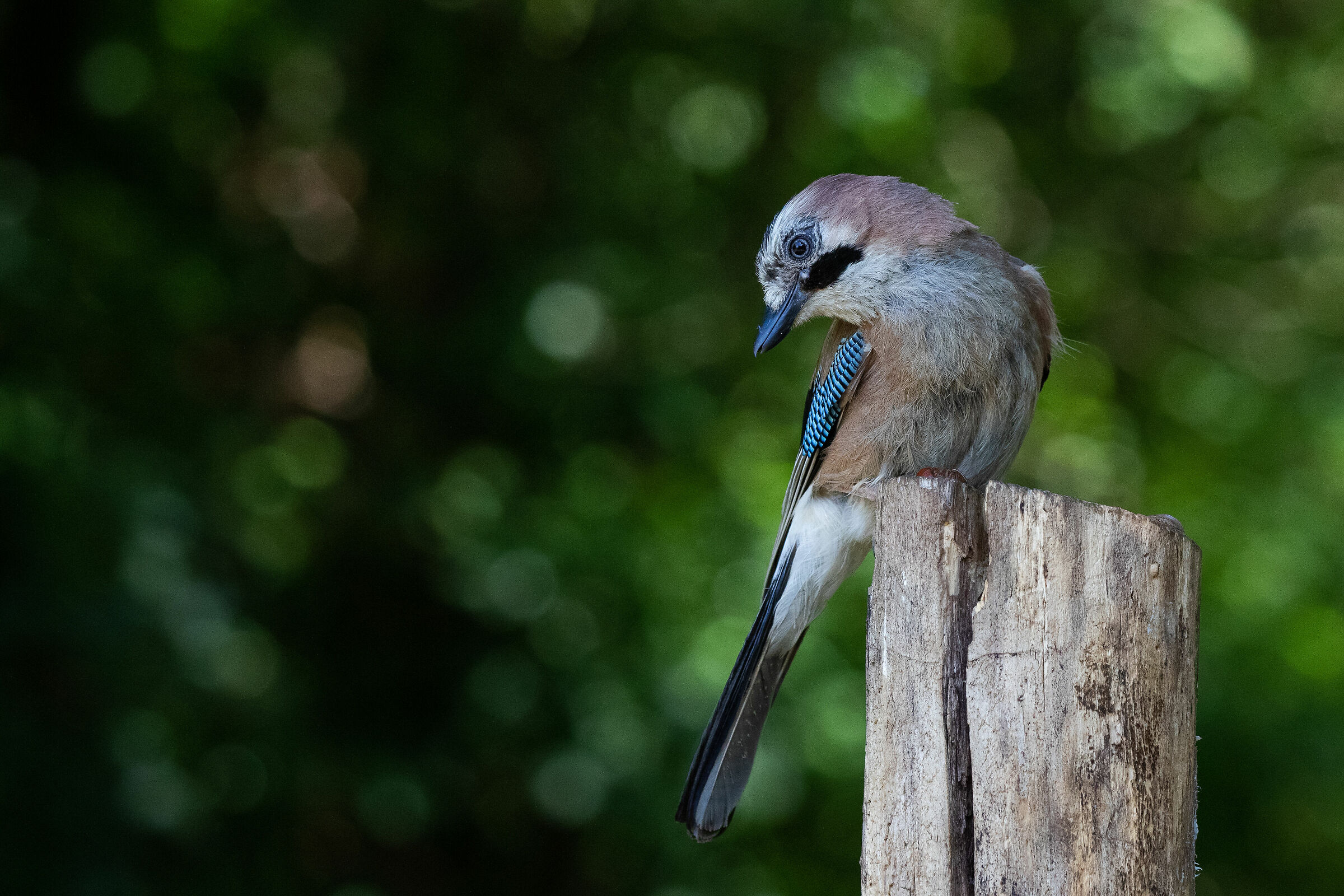 Portrait of a Jay...