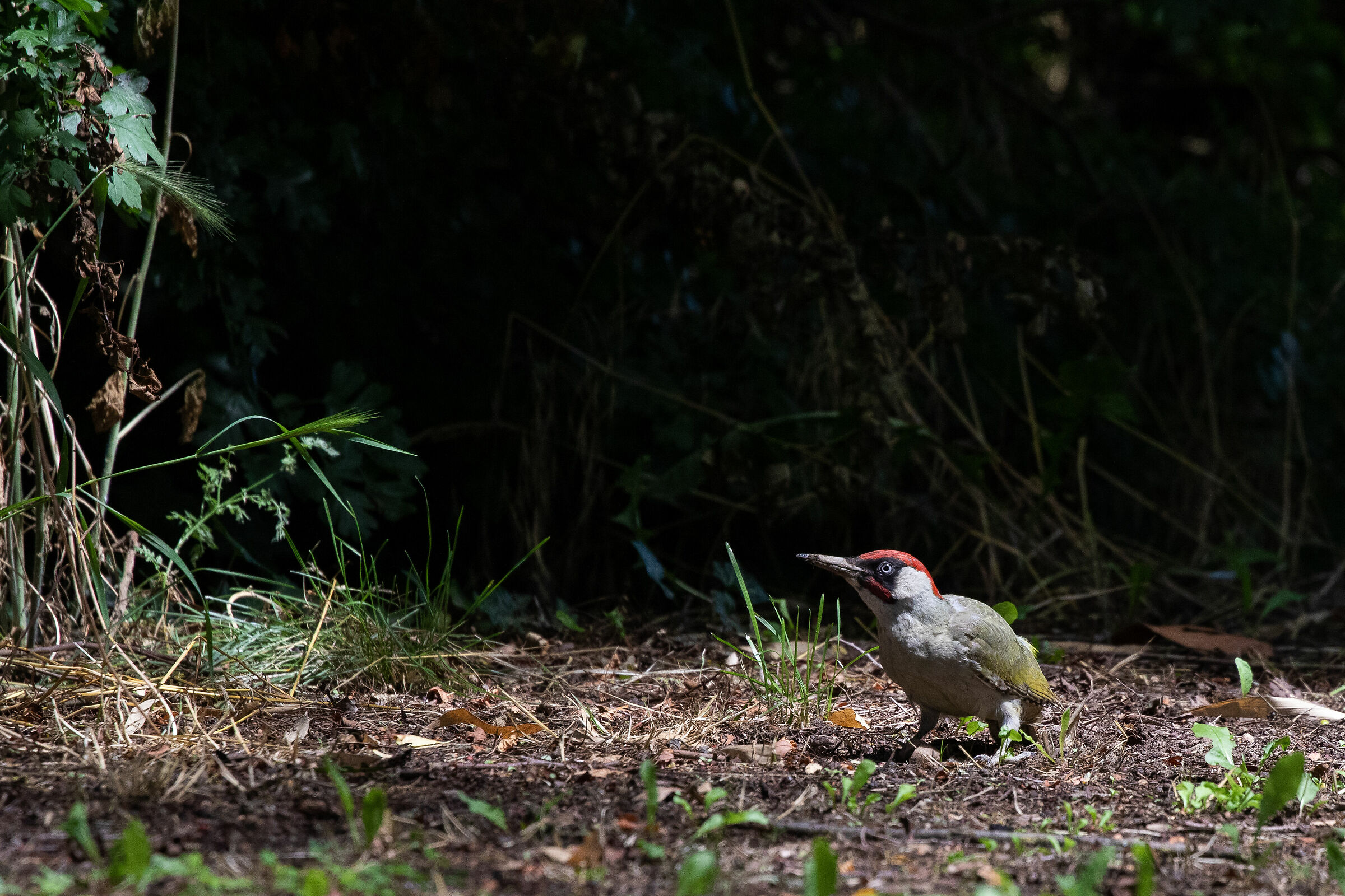Green woodpecker set...