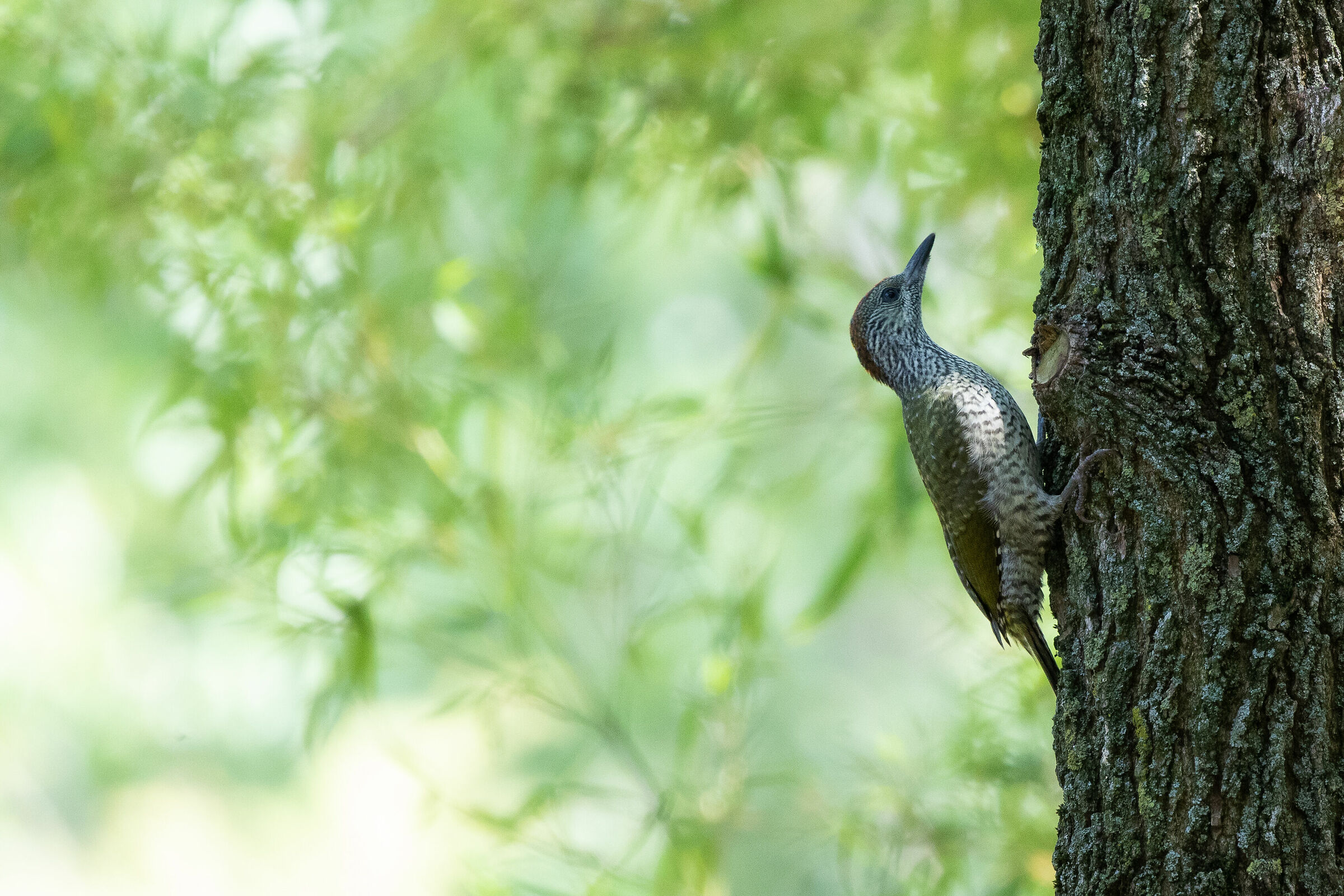 Young green woodpecker set...