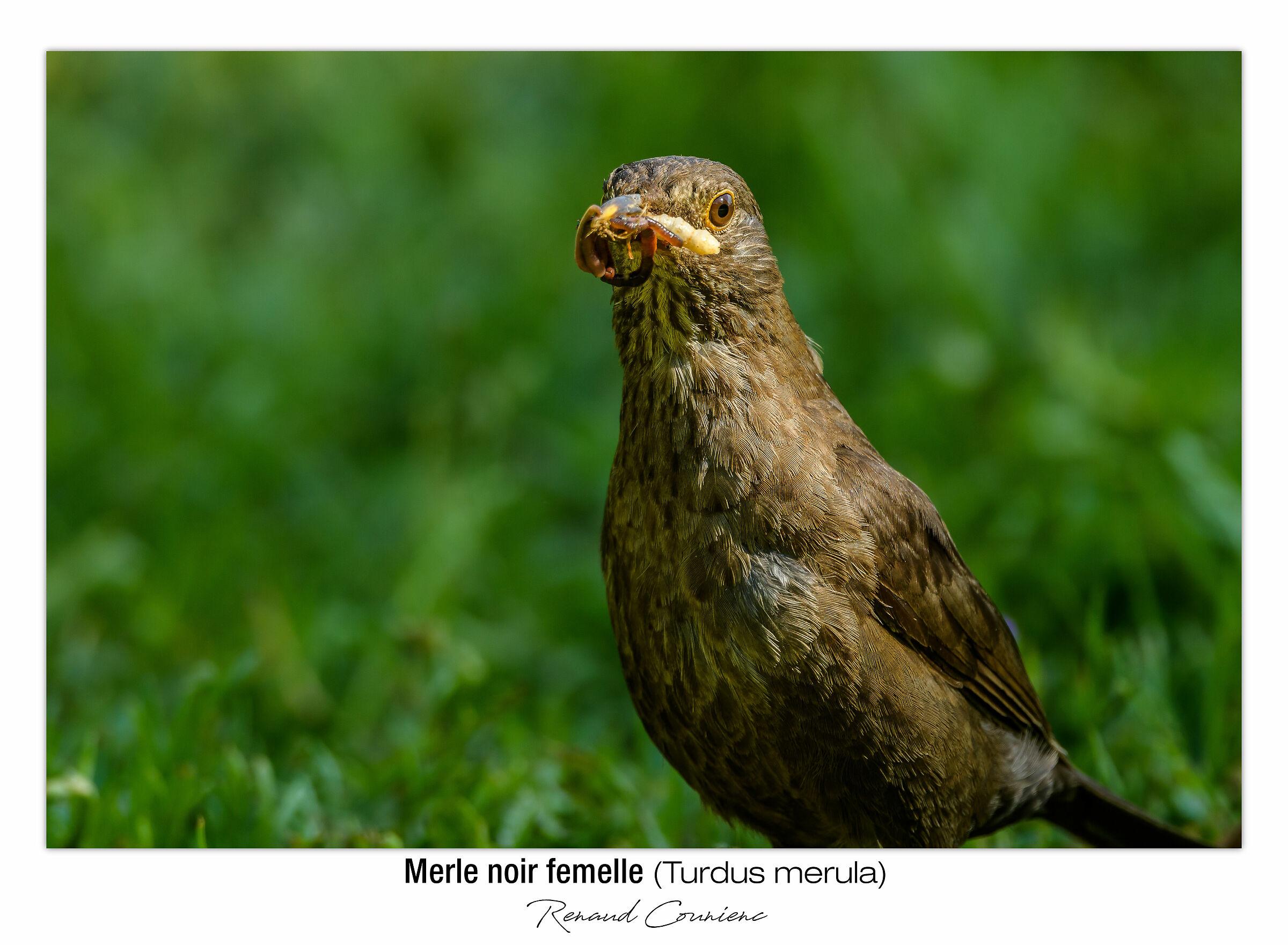 Merlo femmina (full frame)...