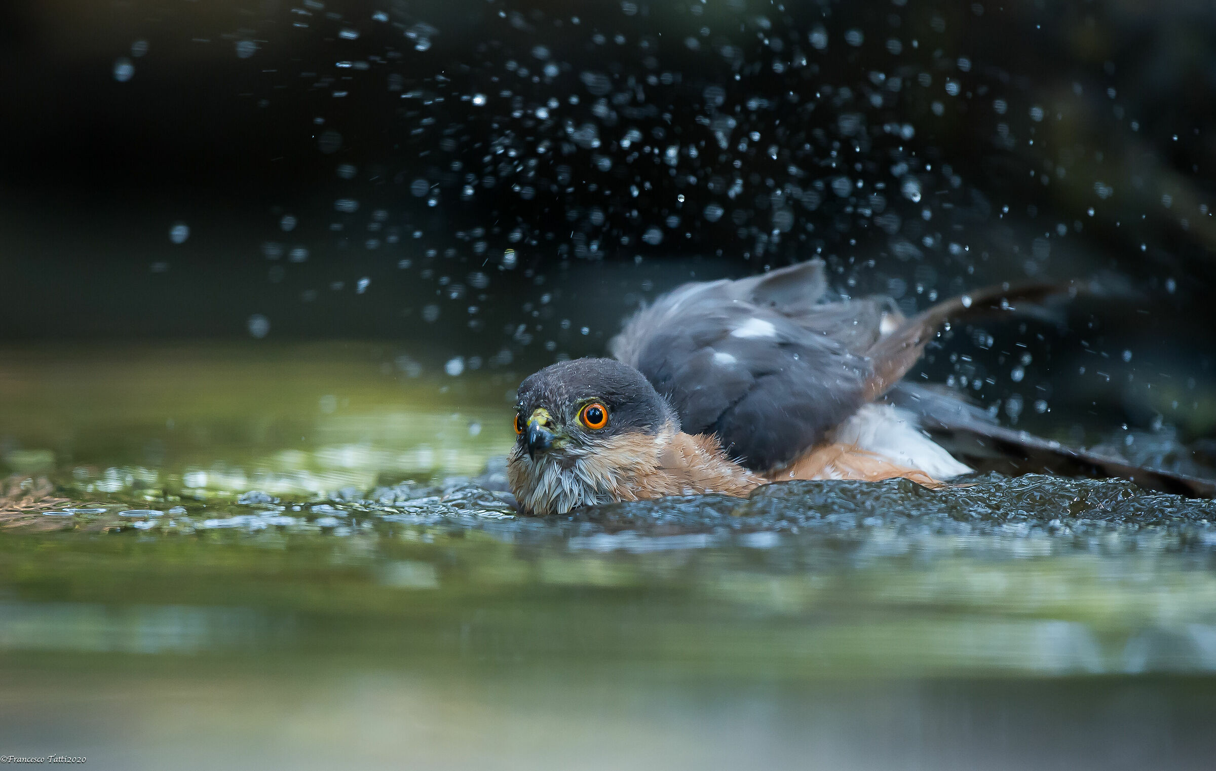Male Sparrow...