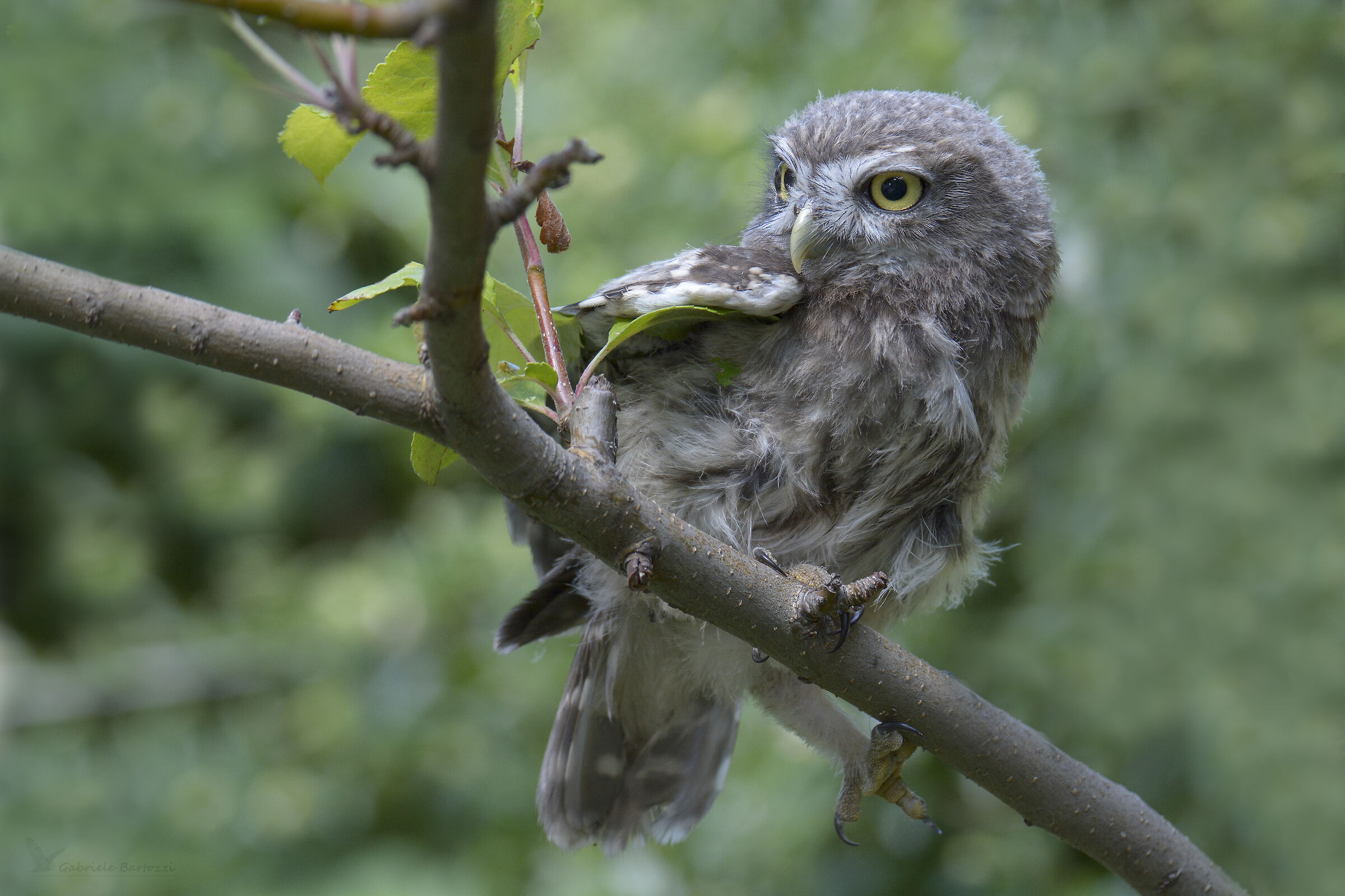Owl pull...