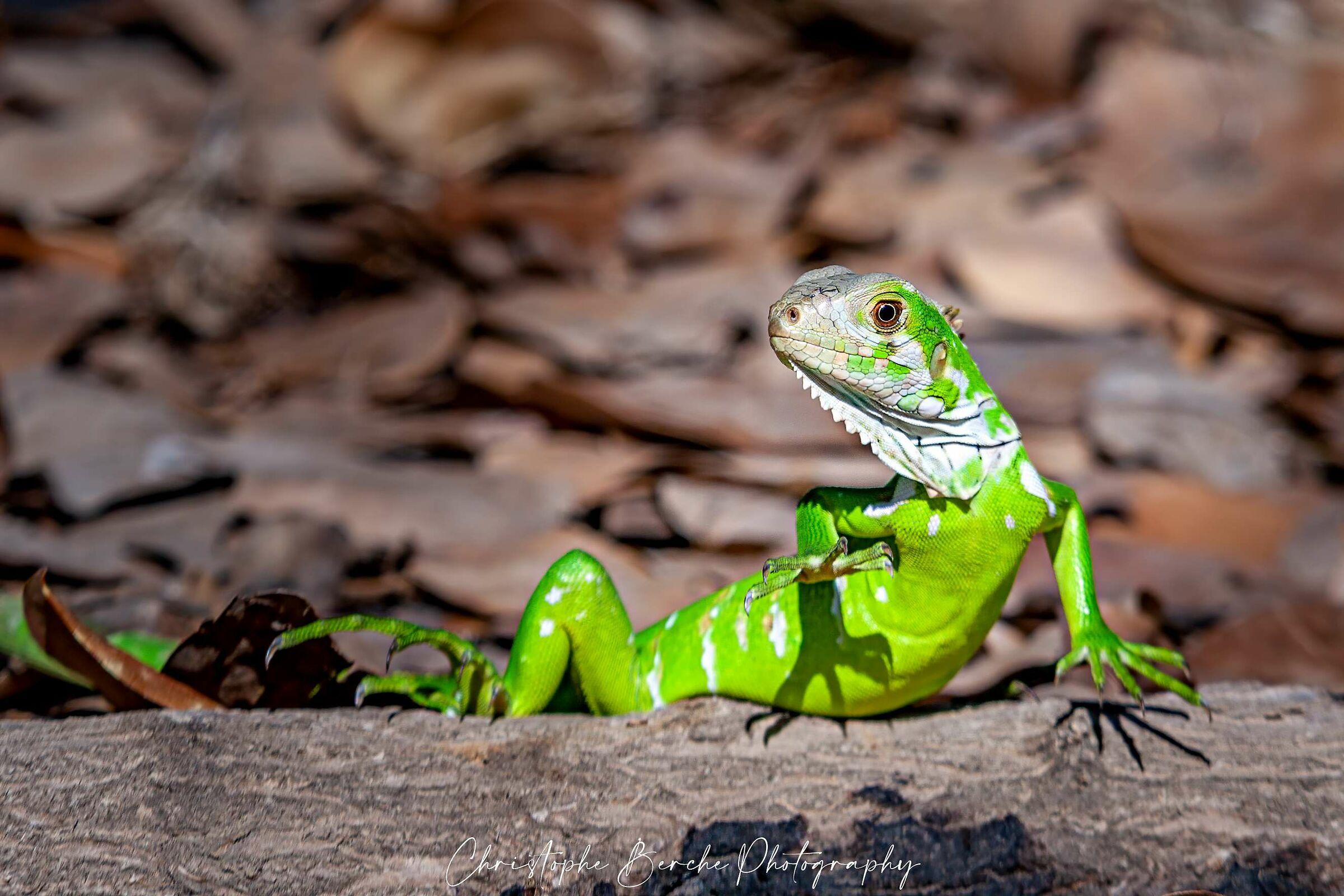 green iguana...