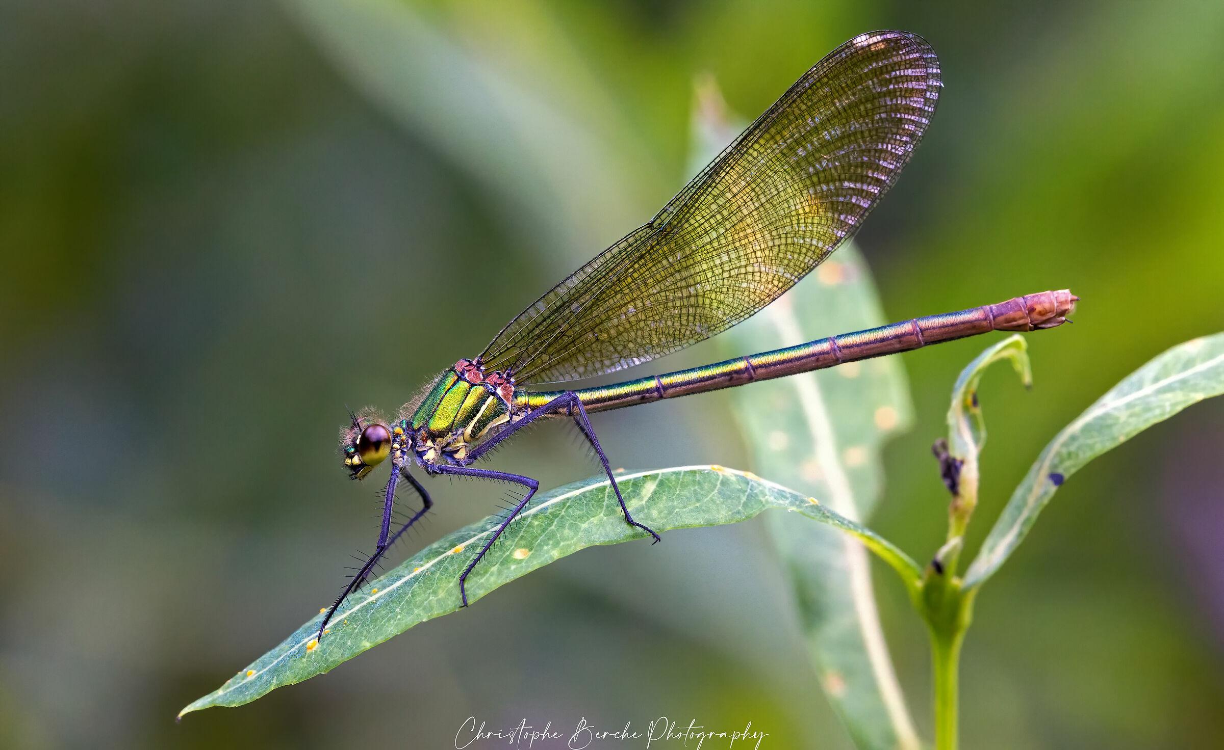 Chalcolestes viridis...