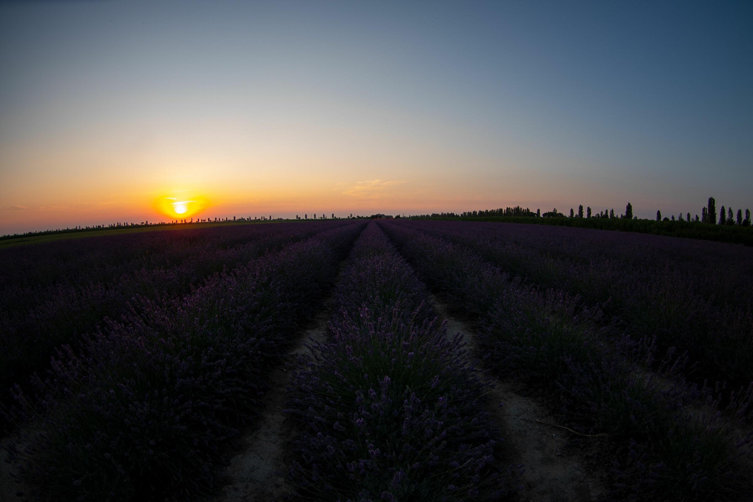 Lavender in the Po Delta...