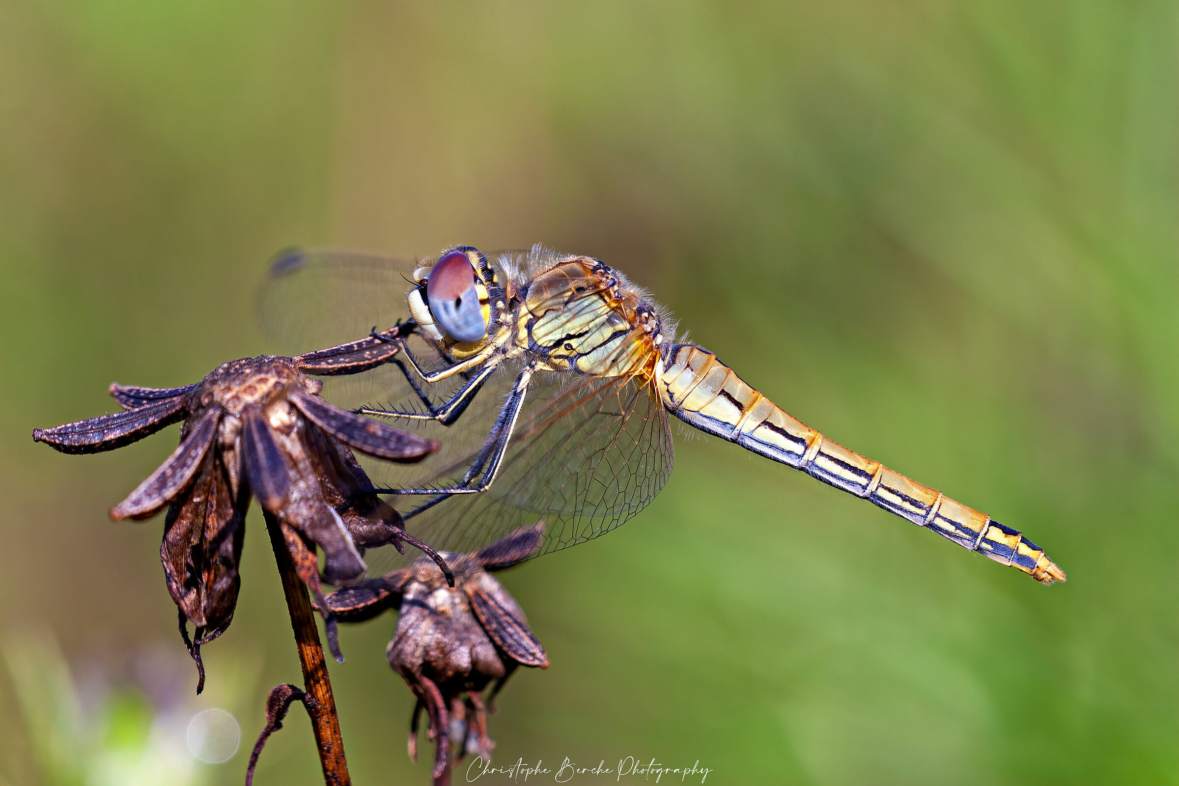 Sympetrum Fonscolombii...