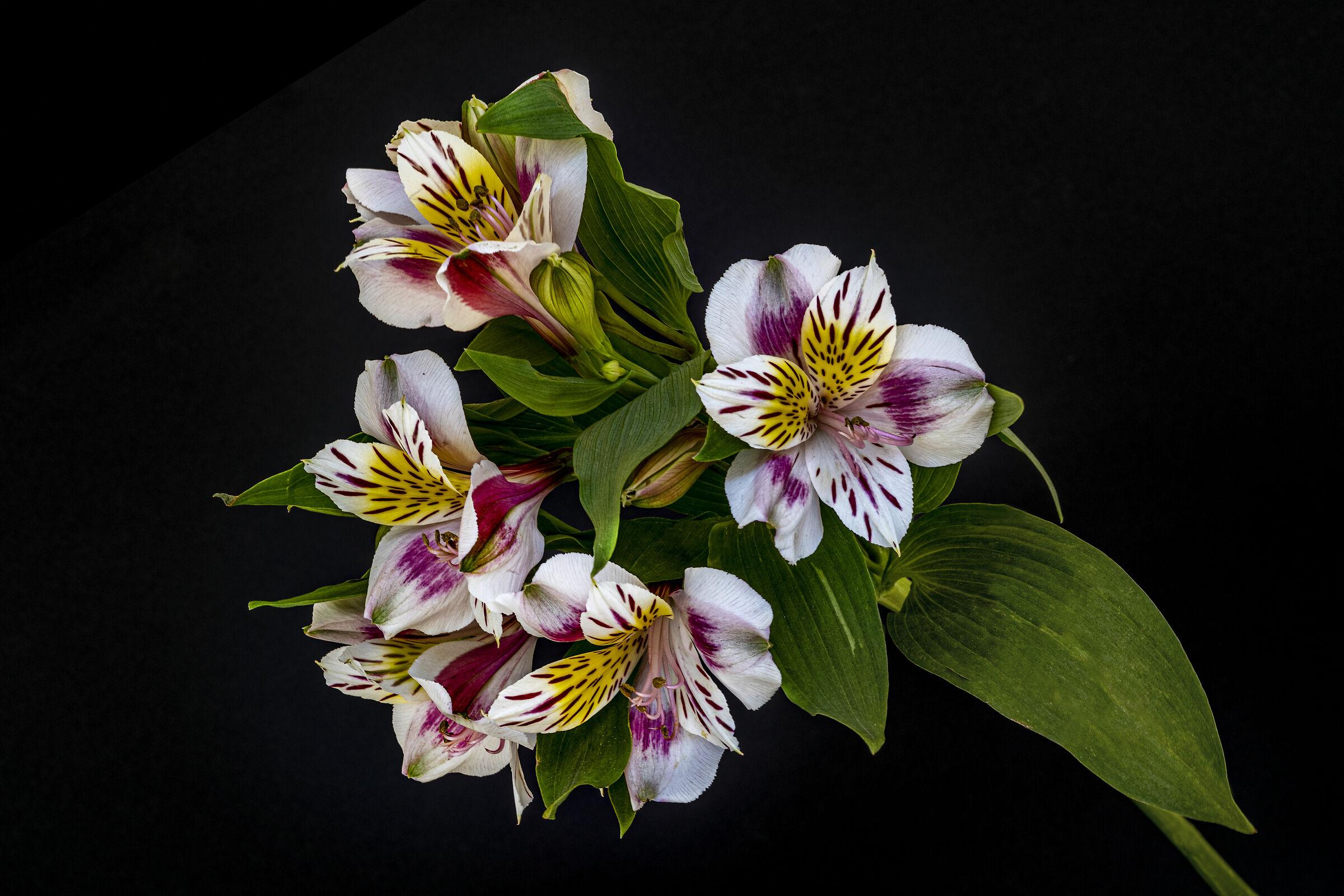 Alstroemeria, il fiore dell'Amicizia...