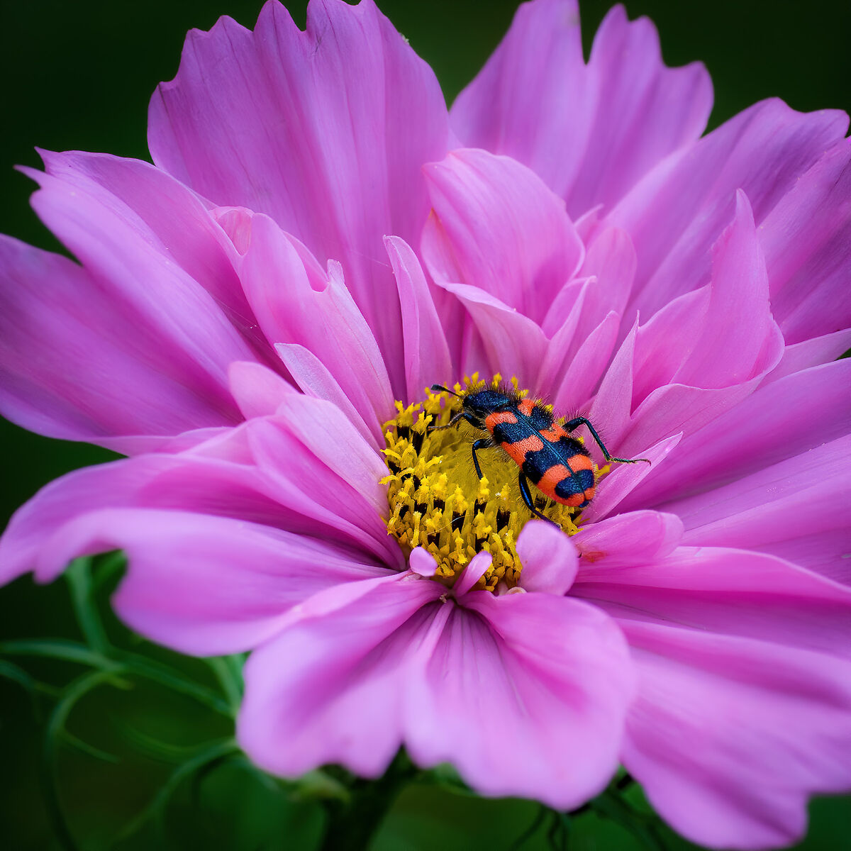 Beetle and Cosmos...