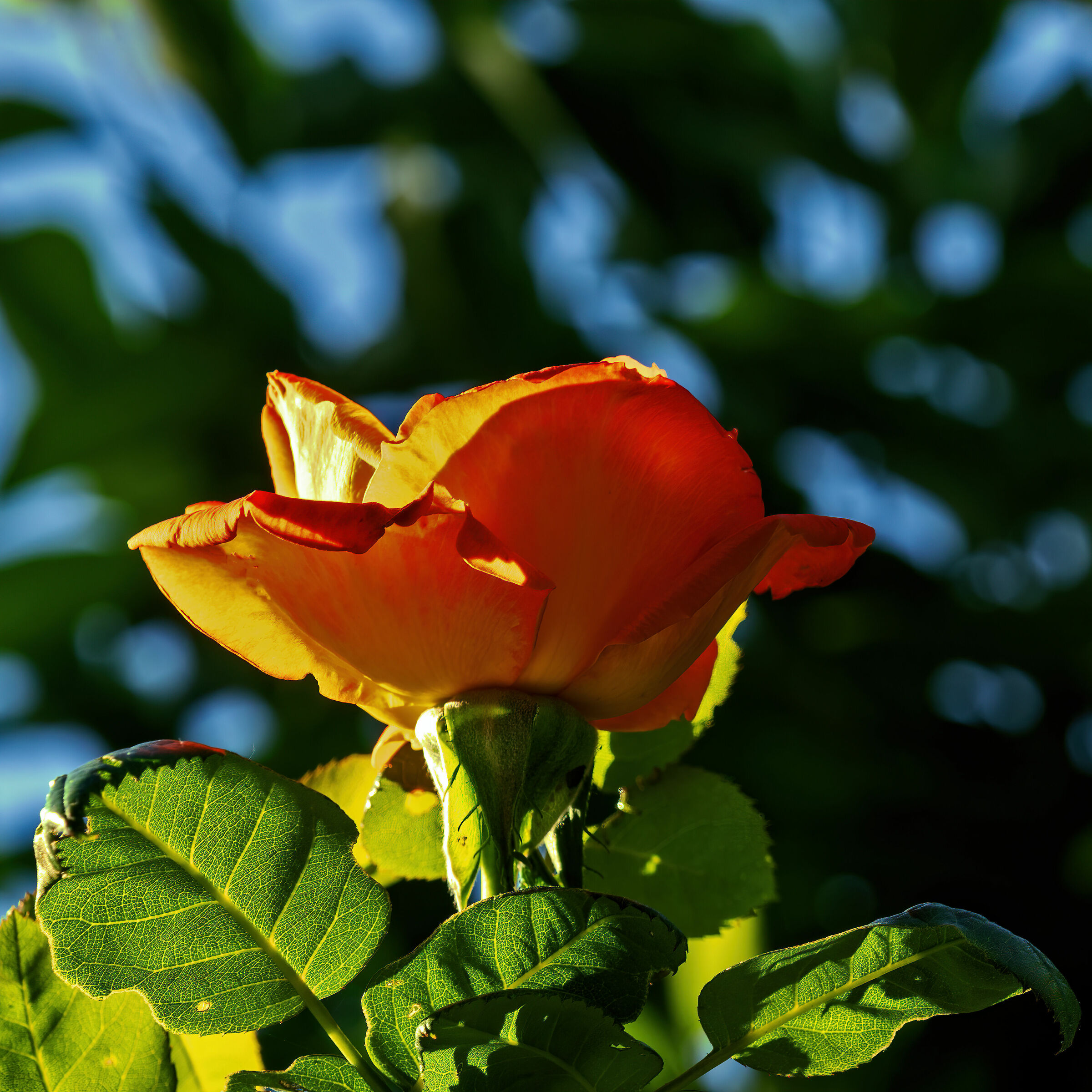 Small rose in backlight...