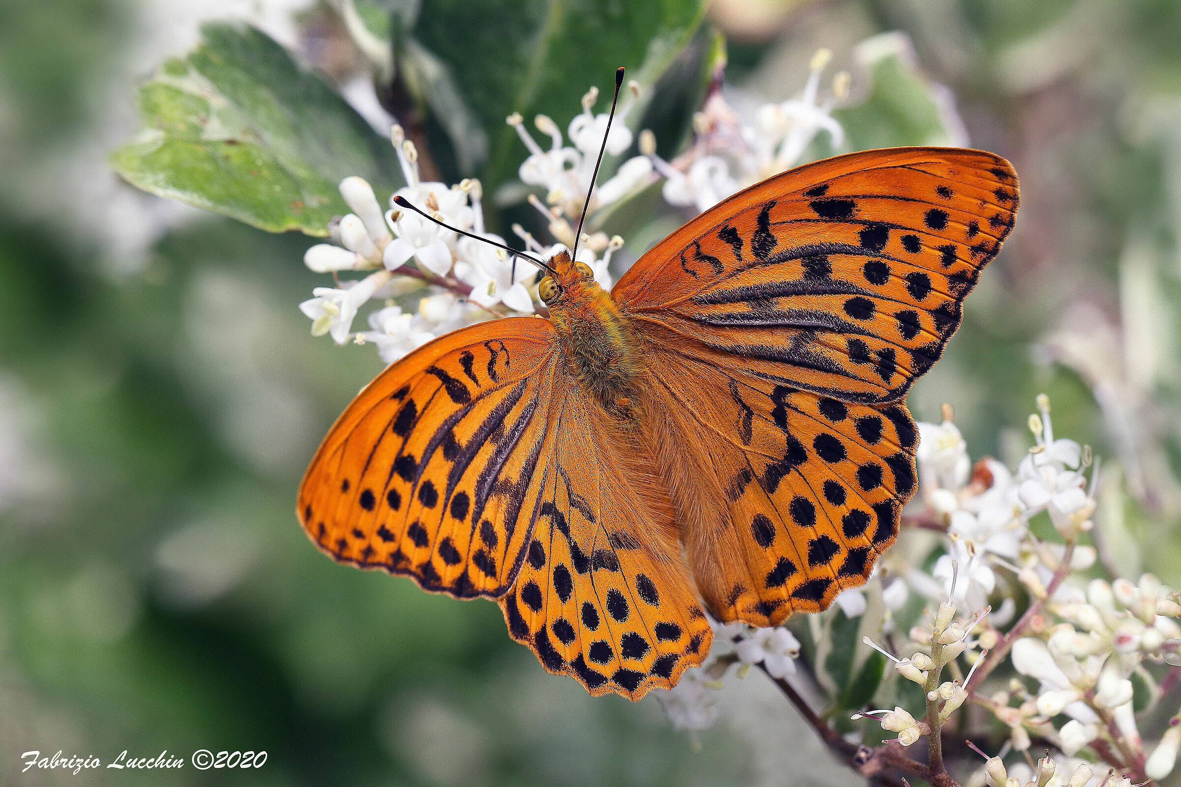 Argynnis paphia (esemplare maschio)...