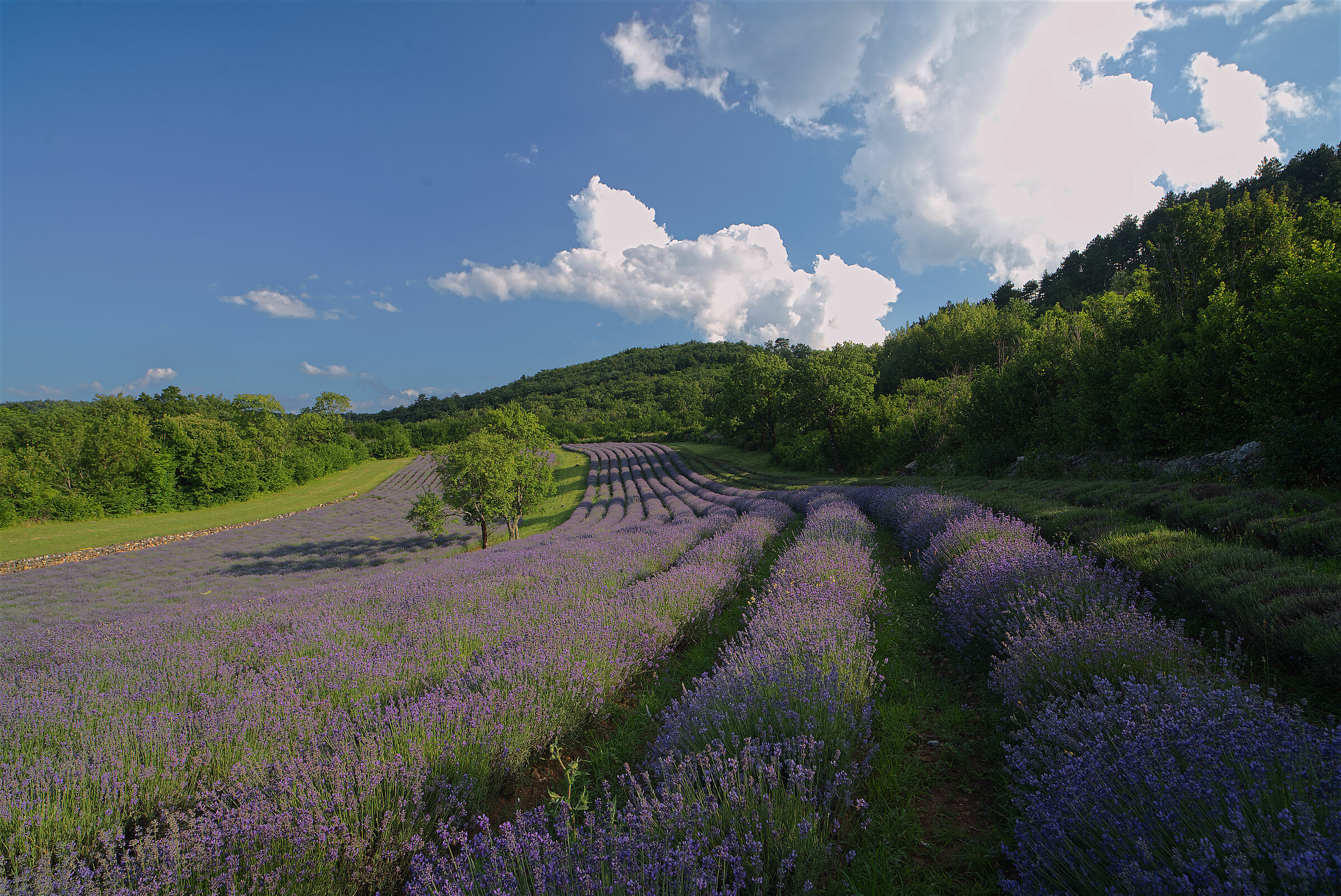 Lavender on the Carso ...