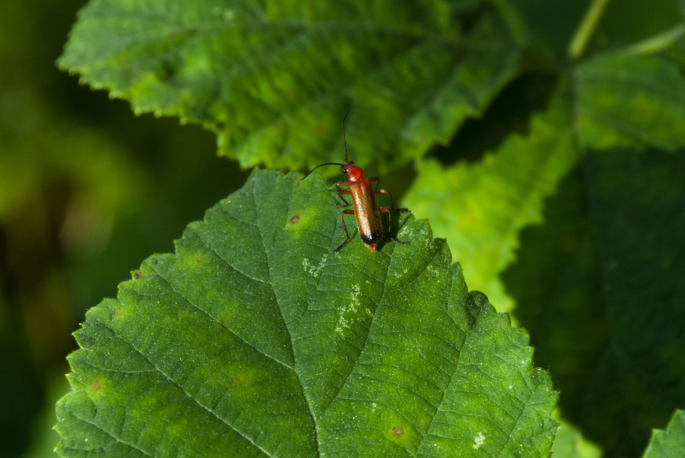 Red insect...