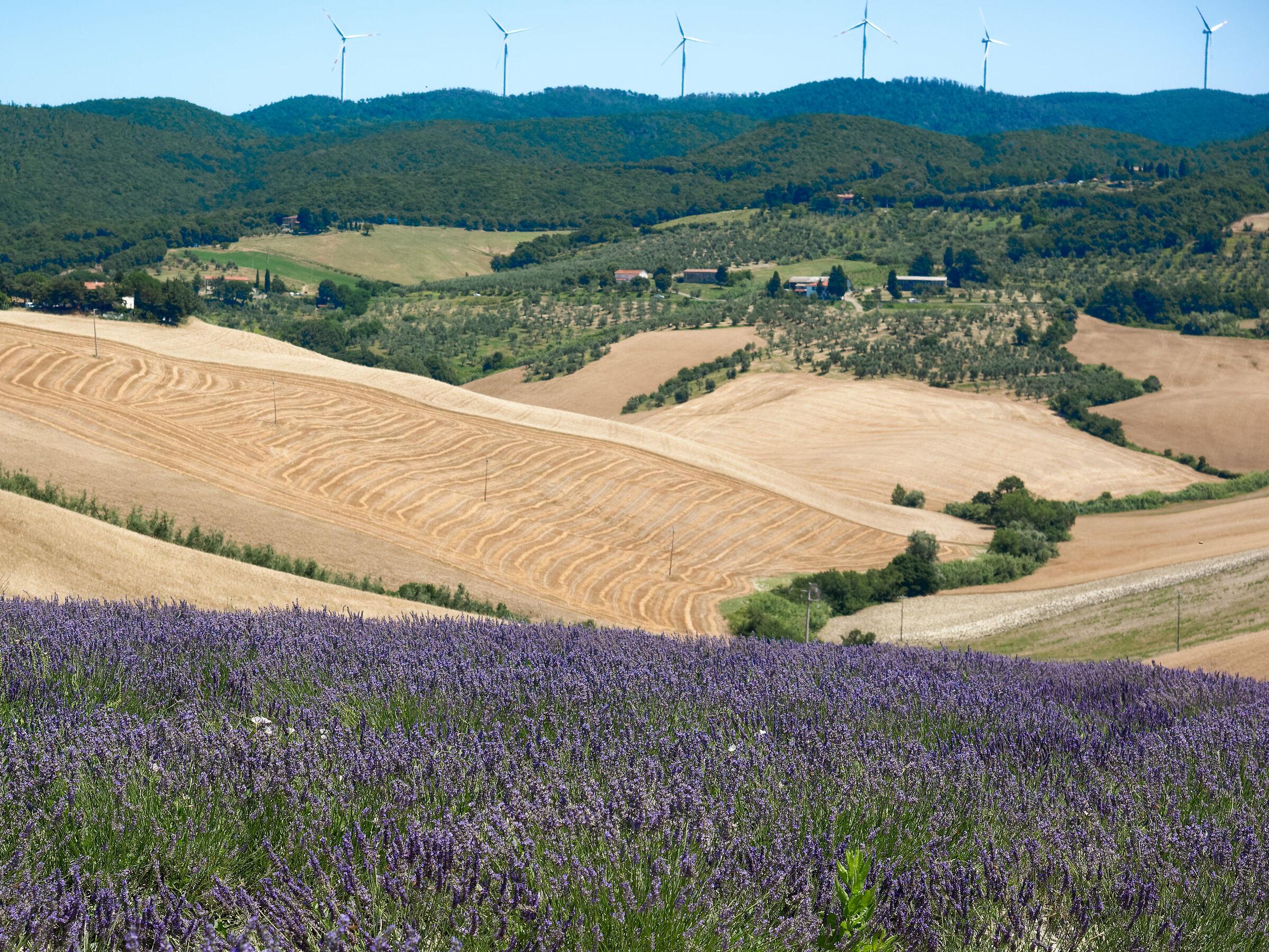 Lavender Pisa 2...