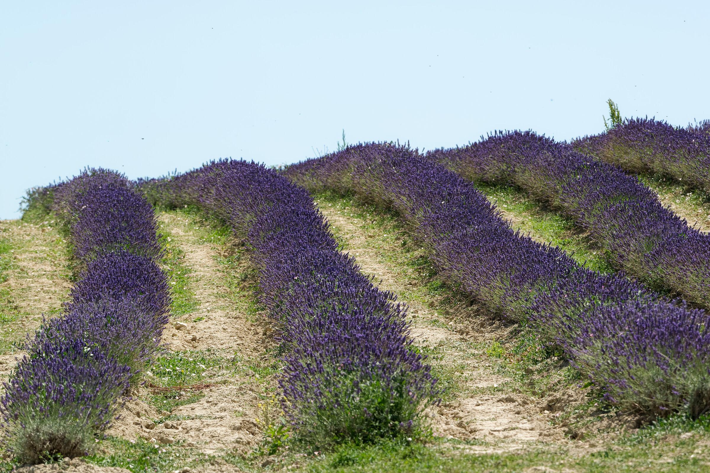 Lavender Pisa 4...