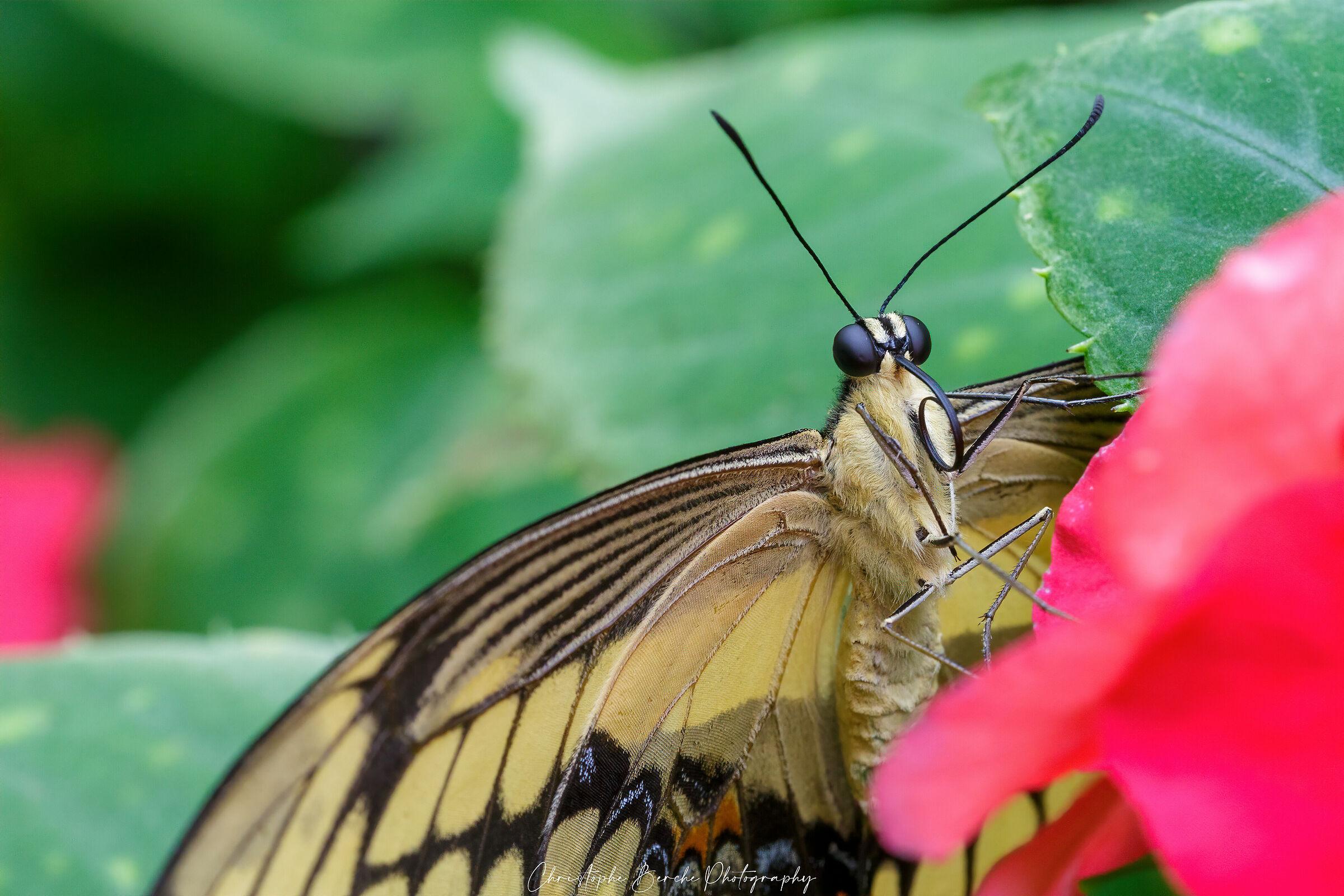 Old world swallowtail...