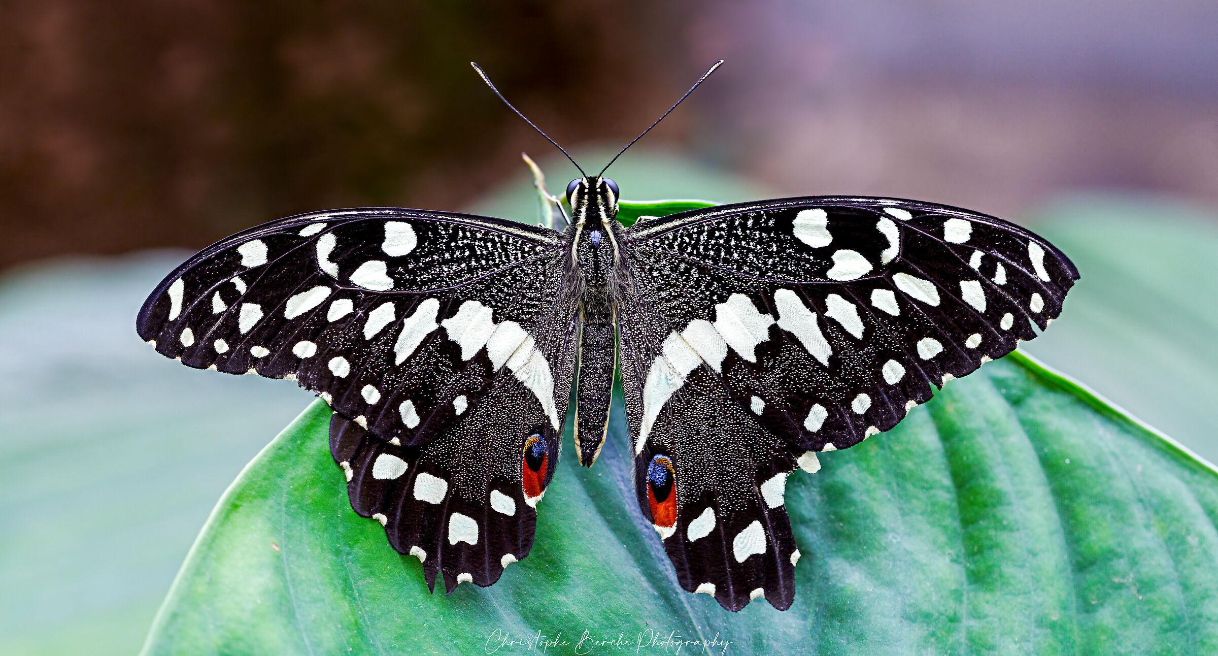 Papilio demodocus...
