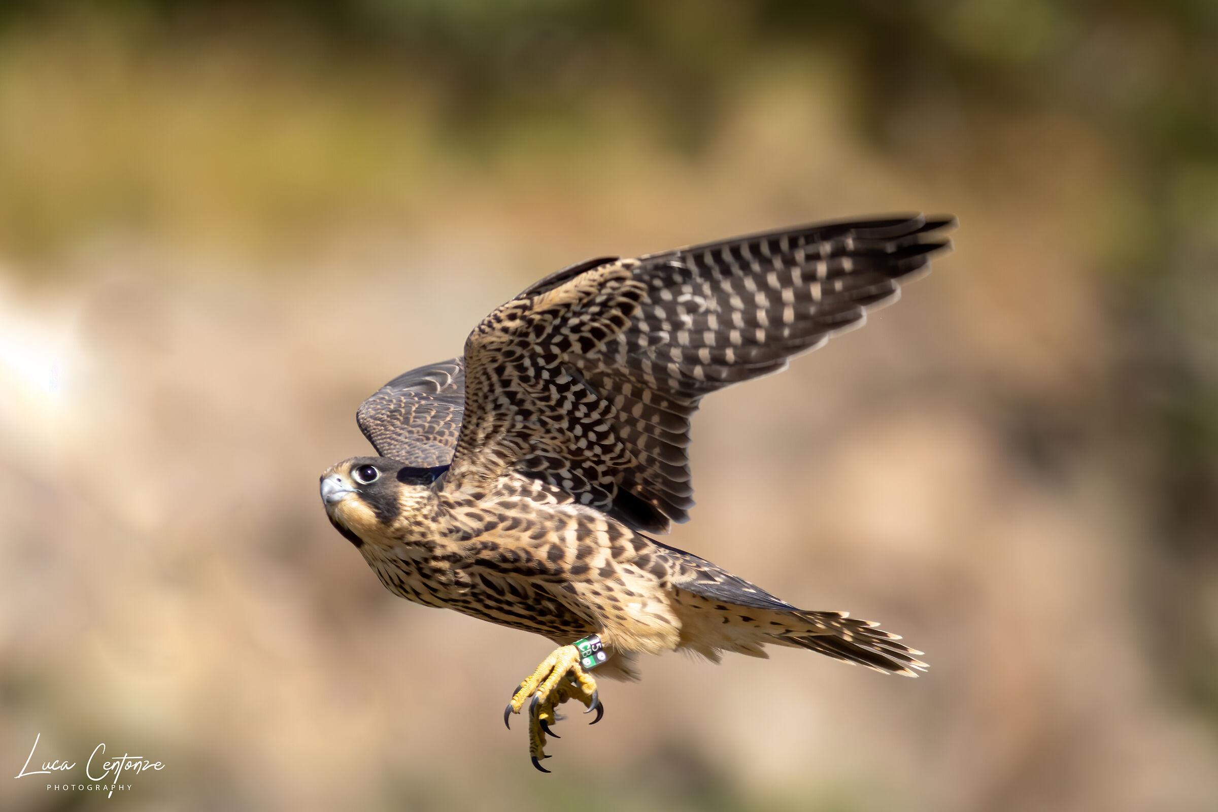 Young Falcon Pilgrim ...