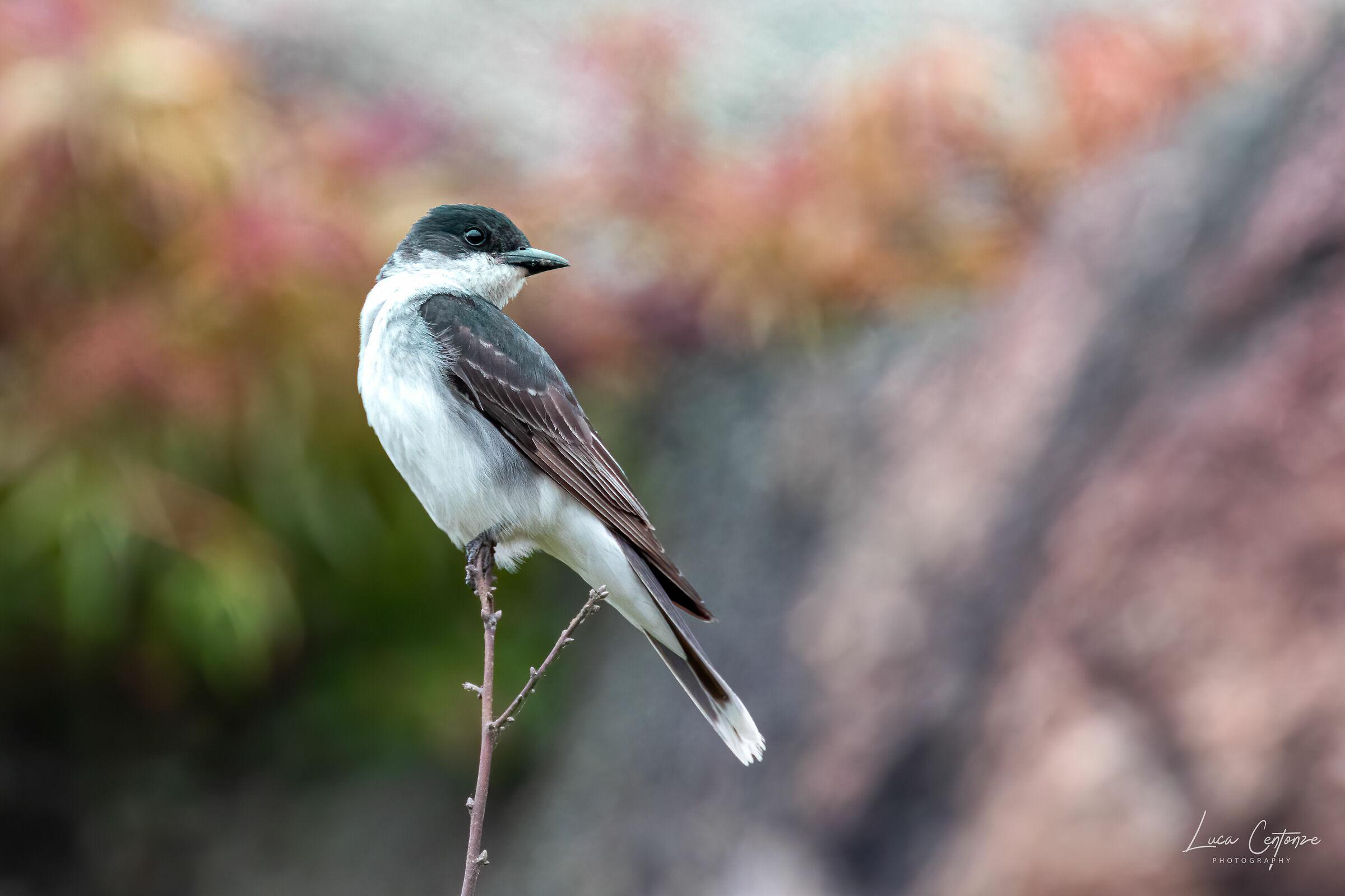 King Bird (Tyrannus tyrannus)...