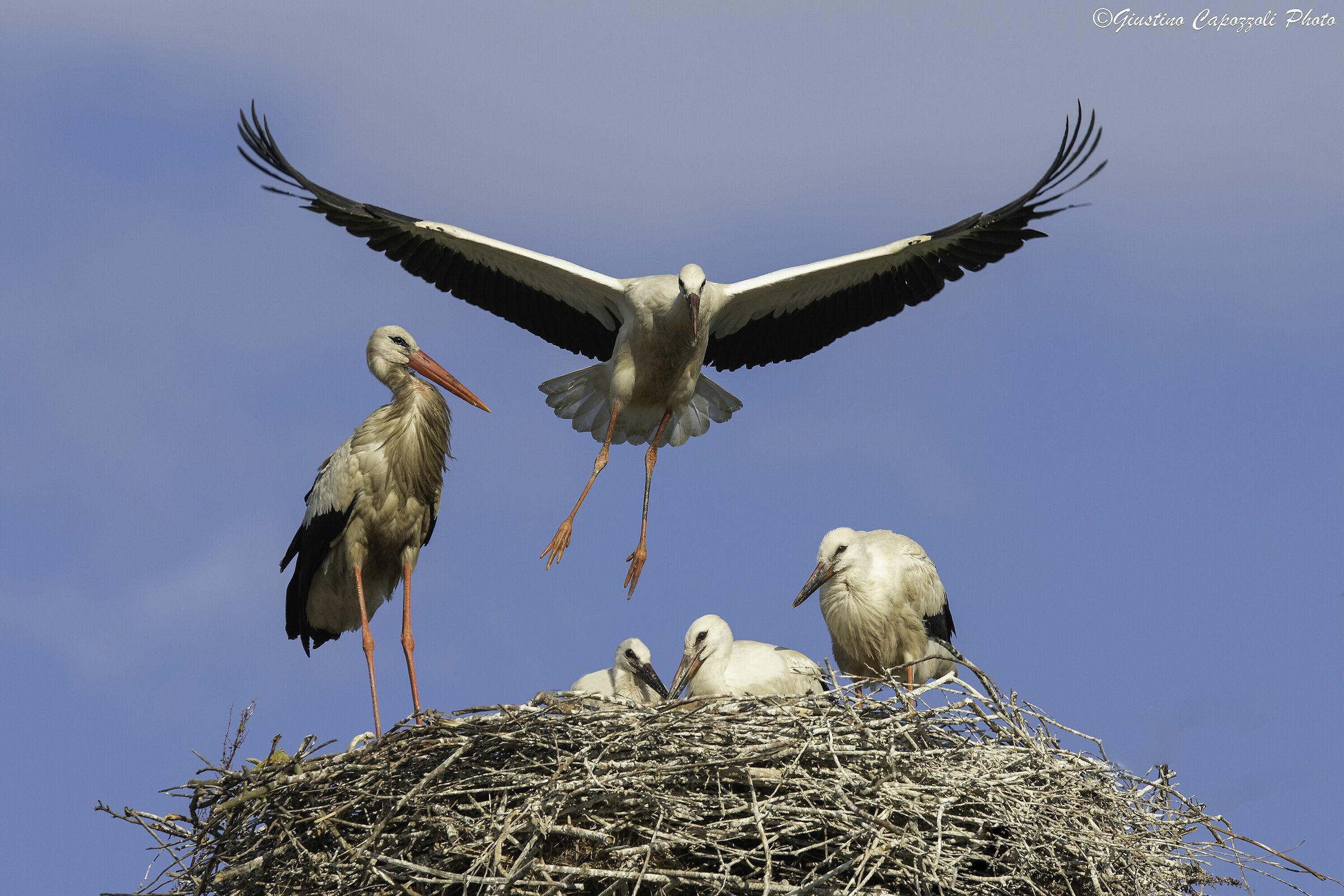 Mother Stork, flying lessons ...