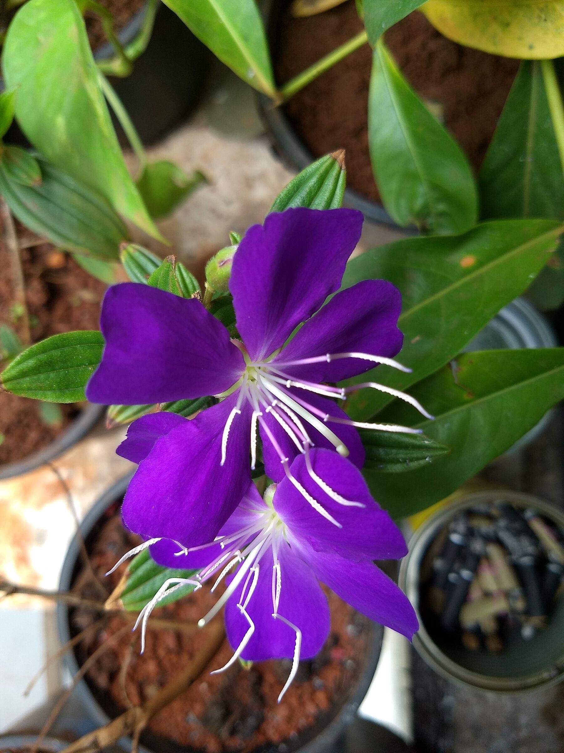 Purple Glory 1...