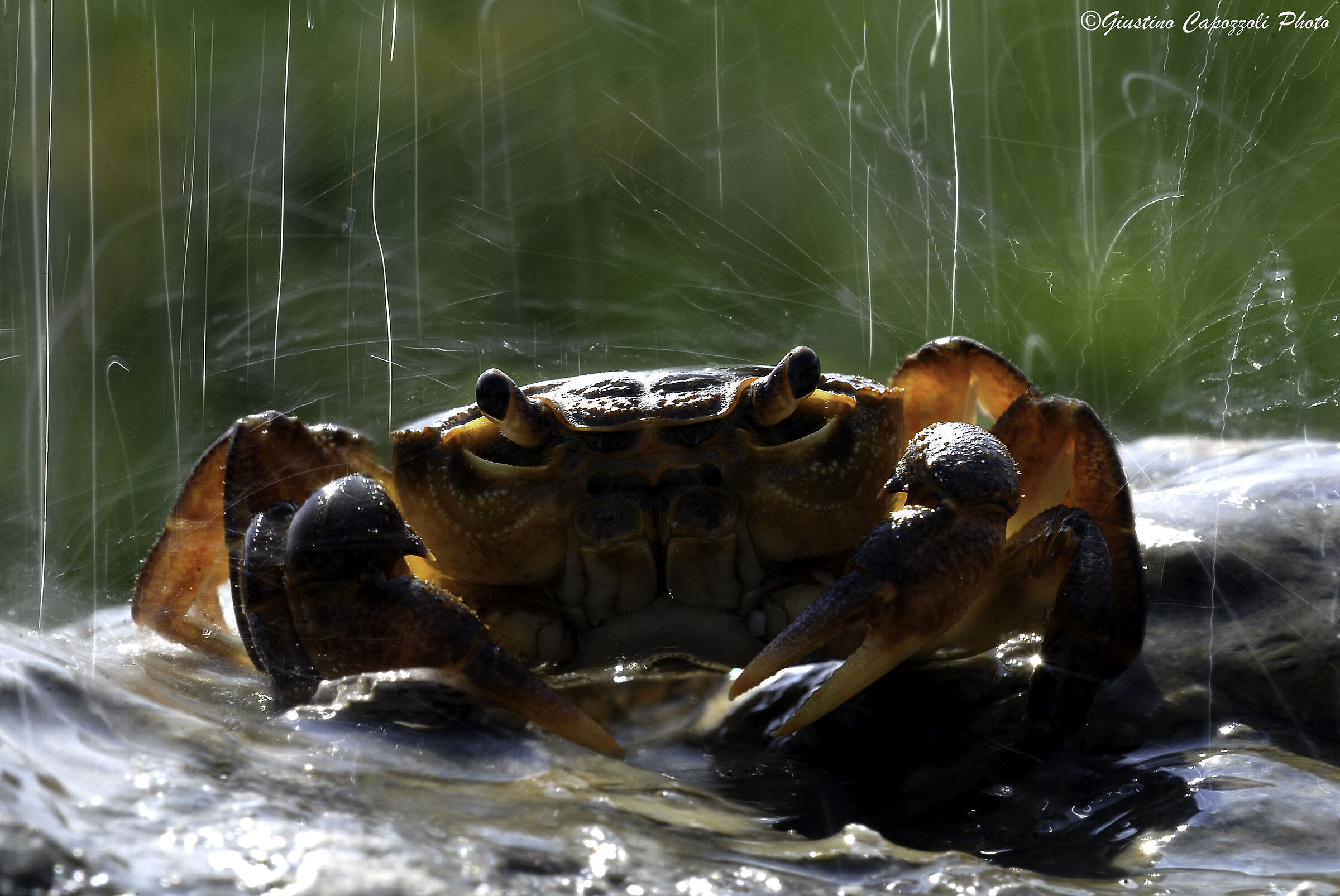 the river crab...