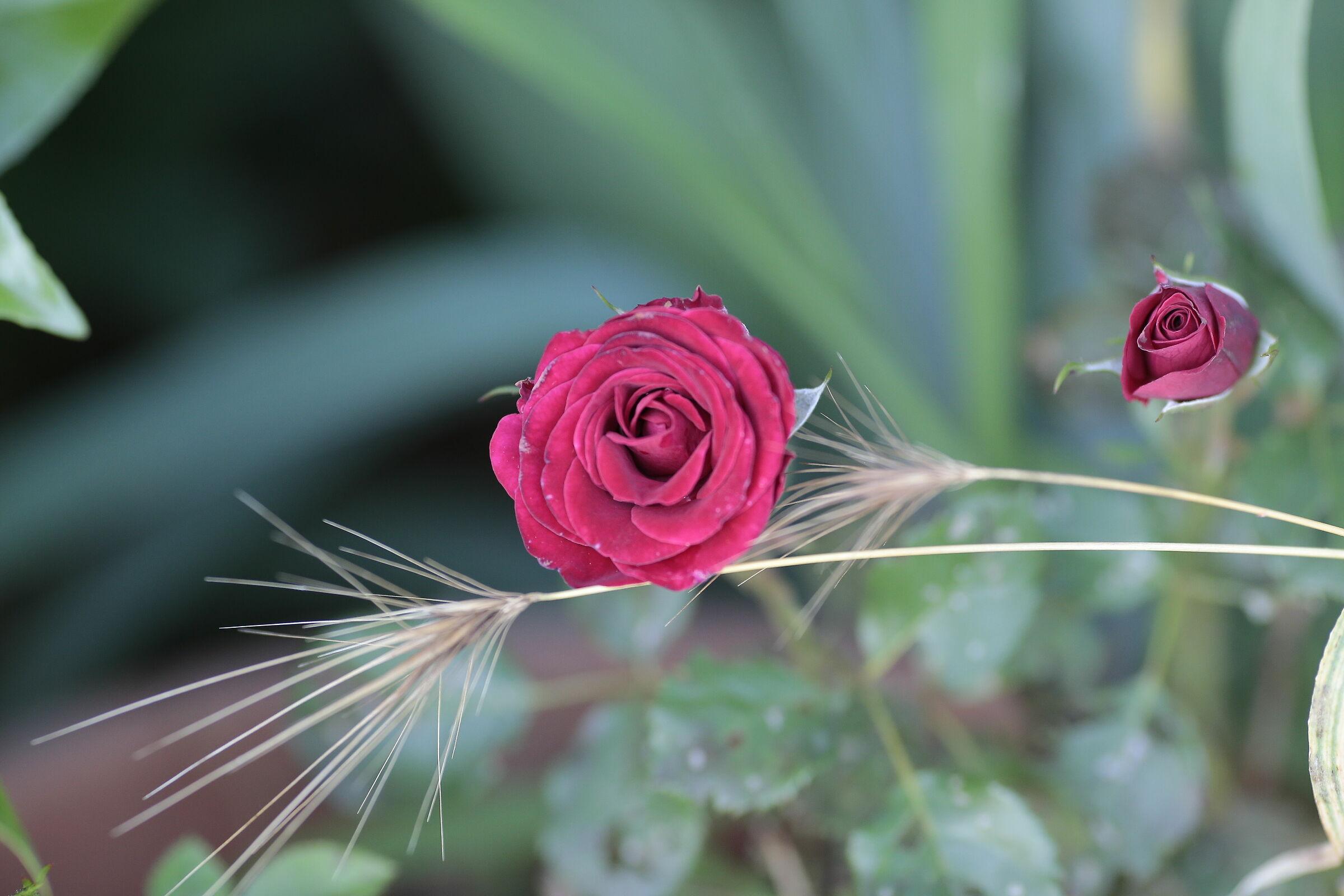 Le rose e le spighe...
