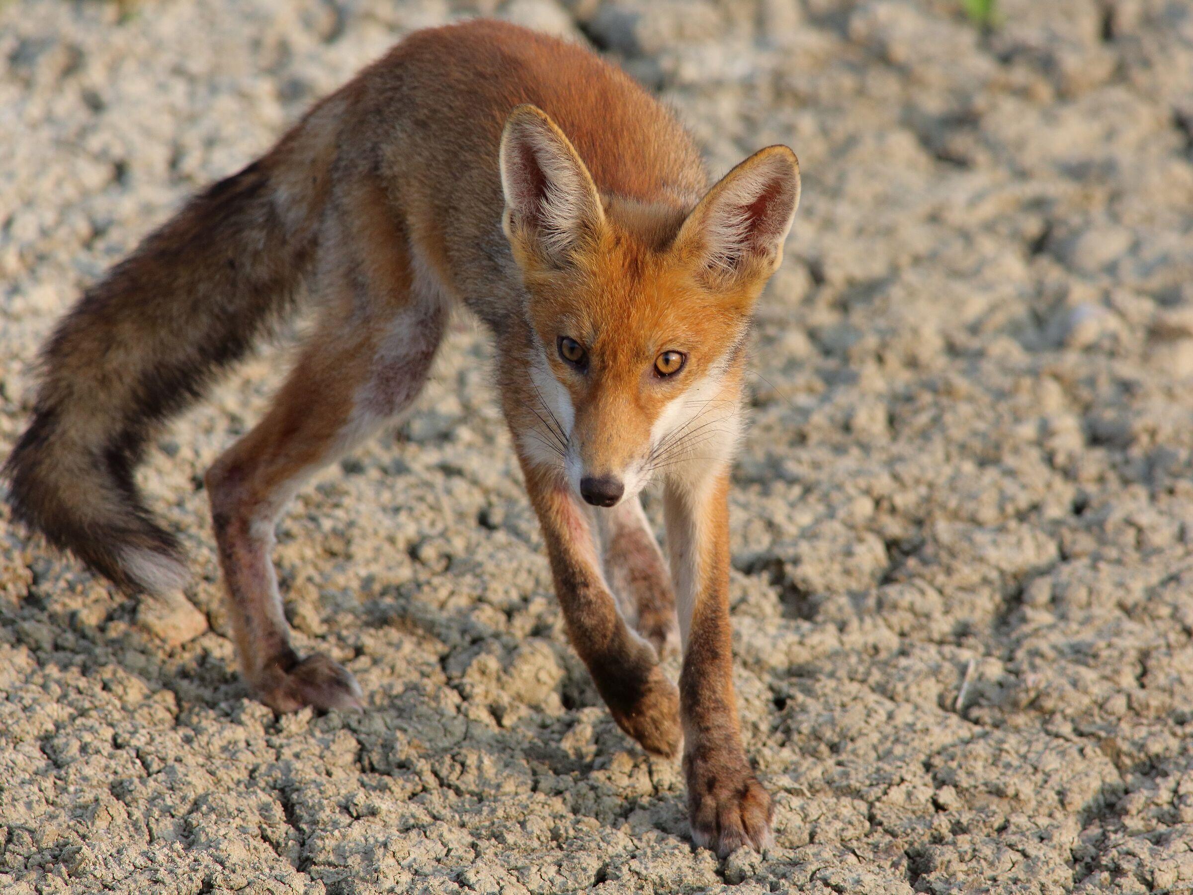 Vulpes vulpes Fox...