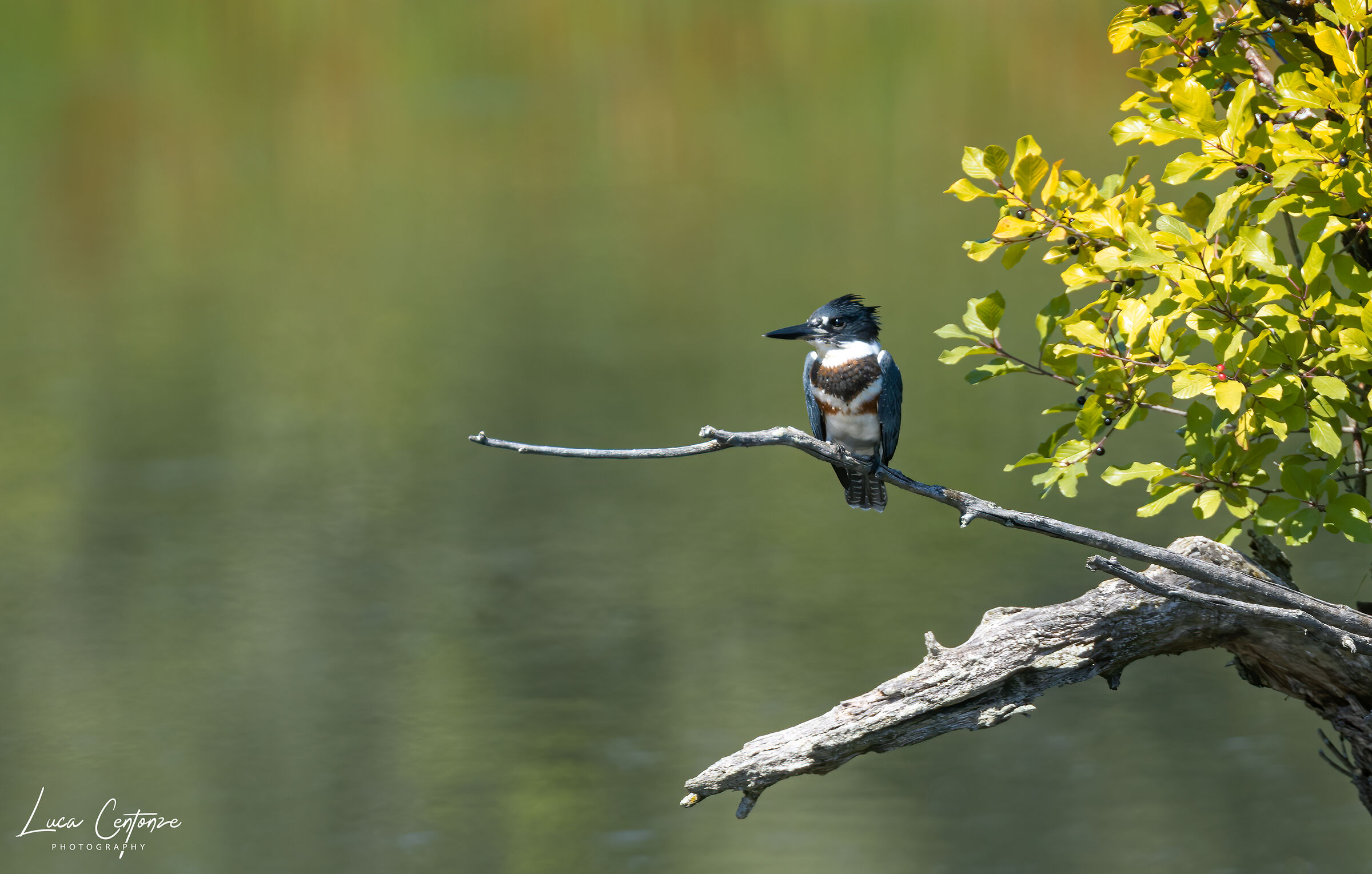Belted Kingfisher (Megaceryle alcyon)...