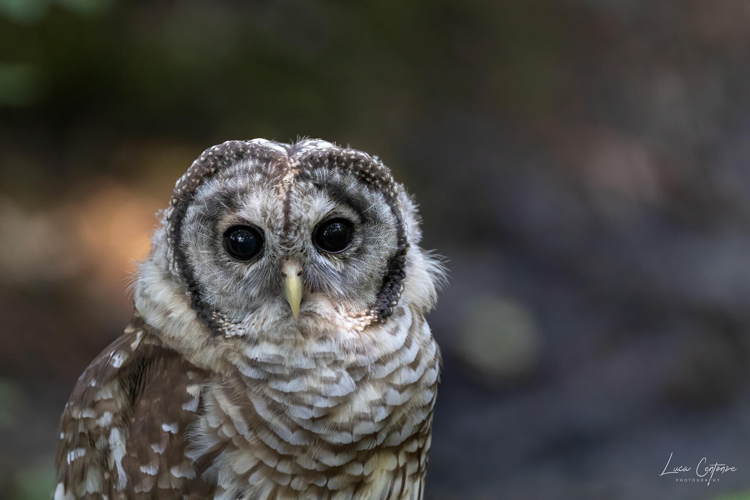 Barred Owl (Strix varies) Barbagianni...