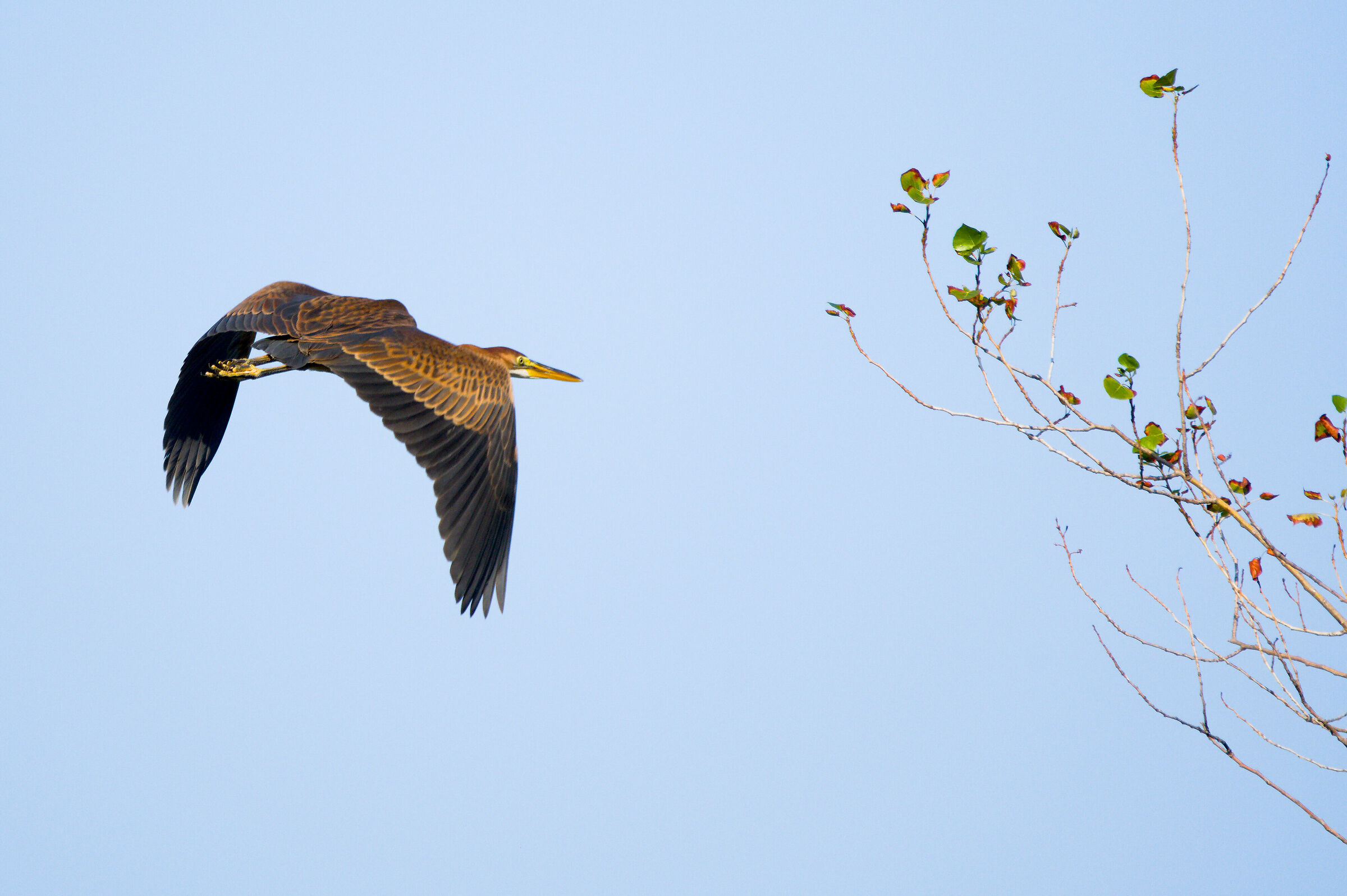 The landing of the red heron...