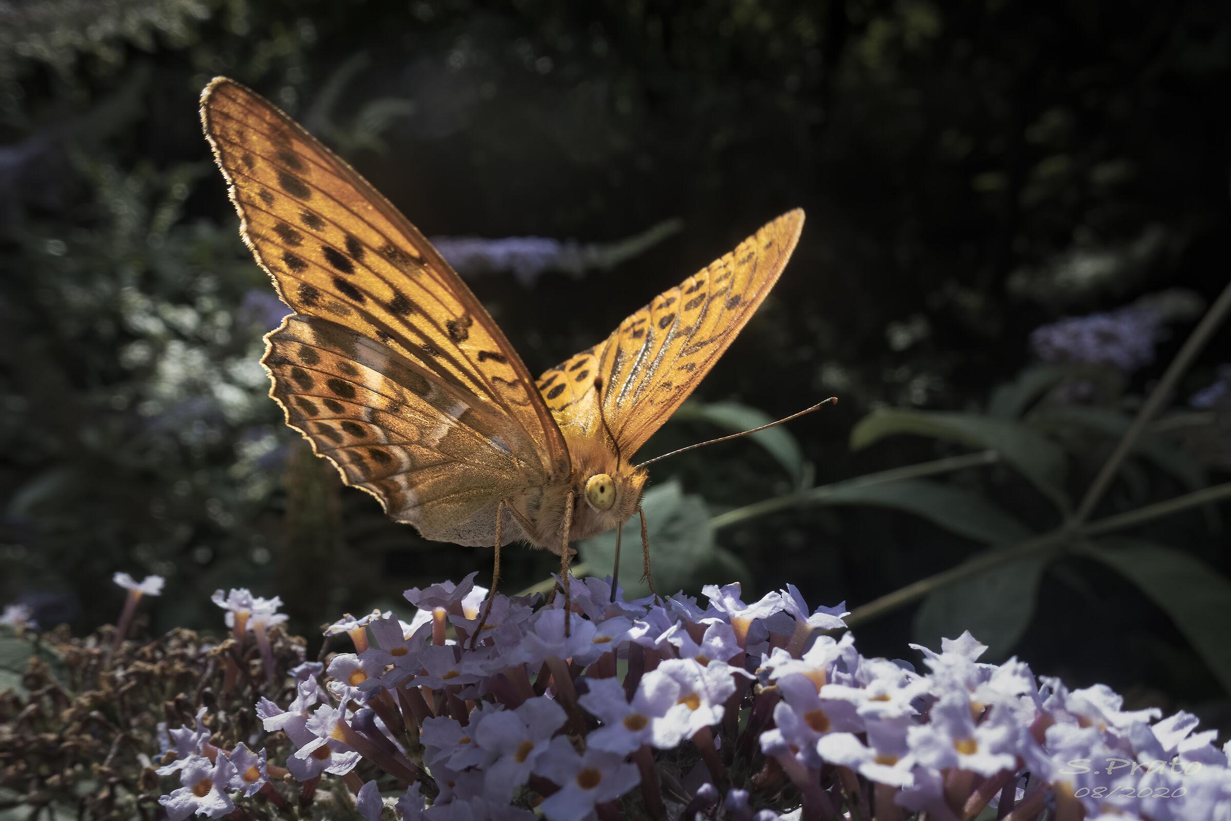 Segrino Butterfly...