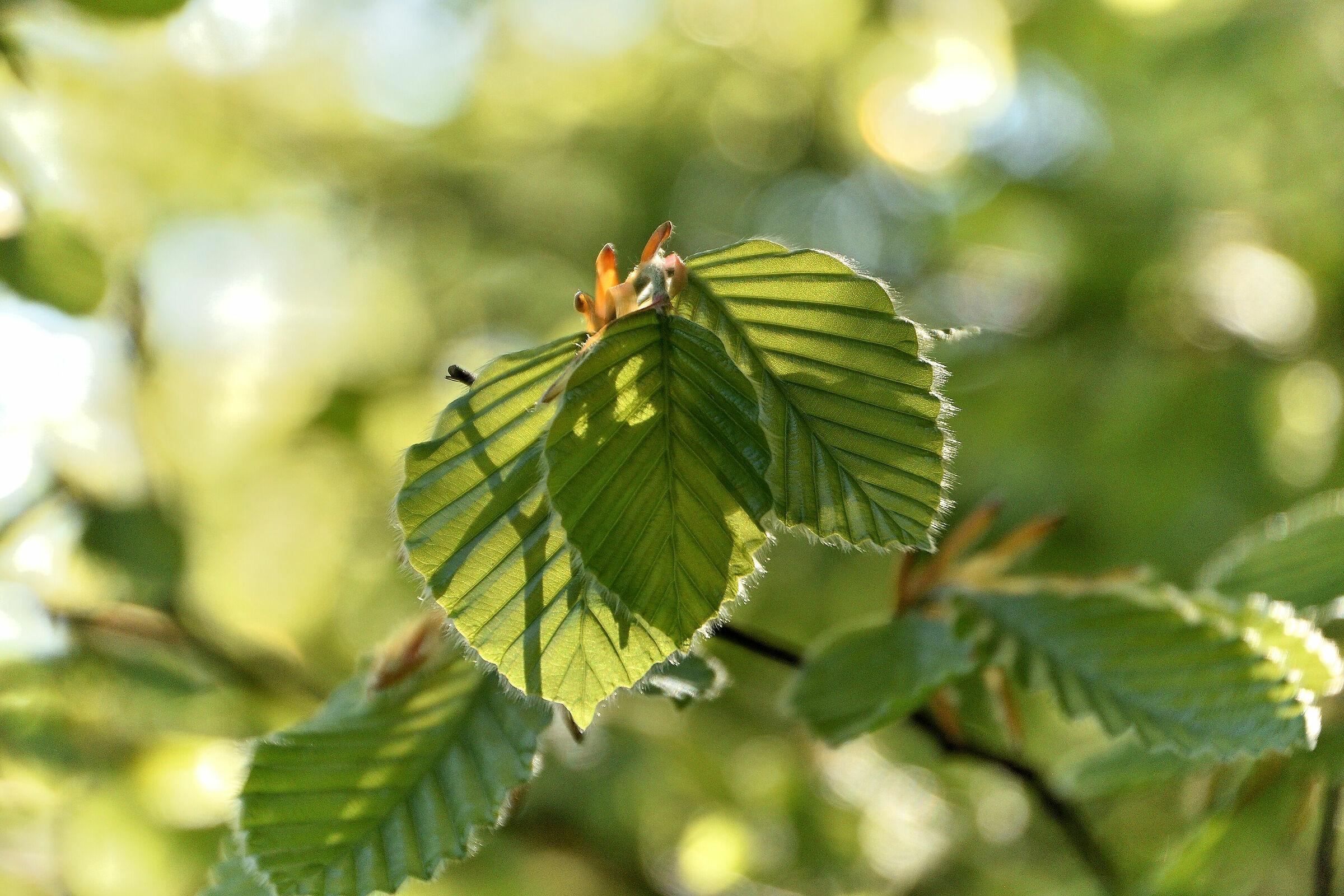 Beech leaves...